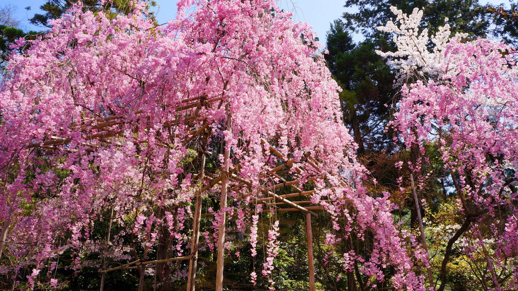 溢れんばかりに咲くピンクの花