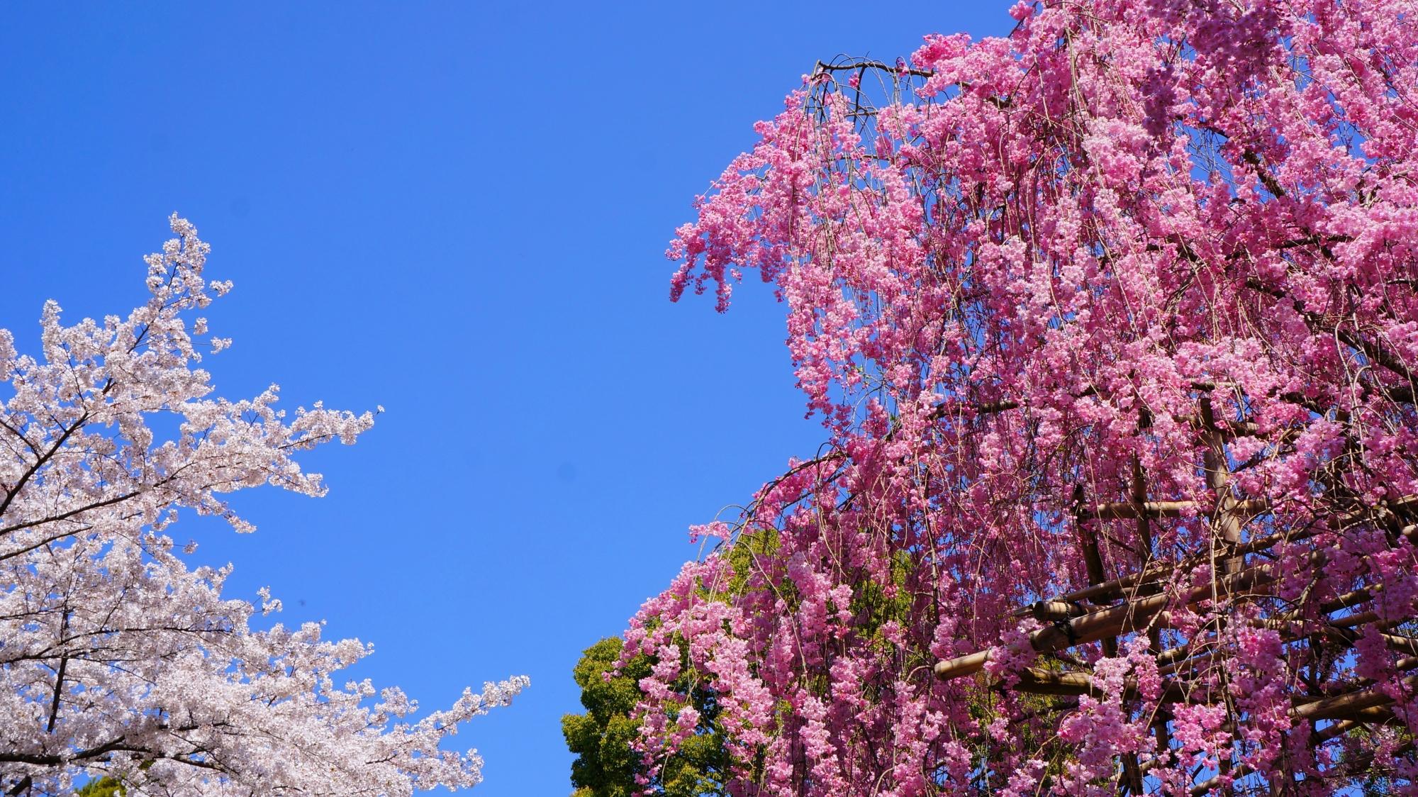 青空を春色に彩る紅白の桜