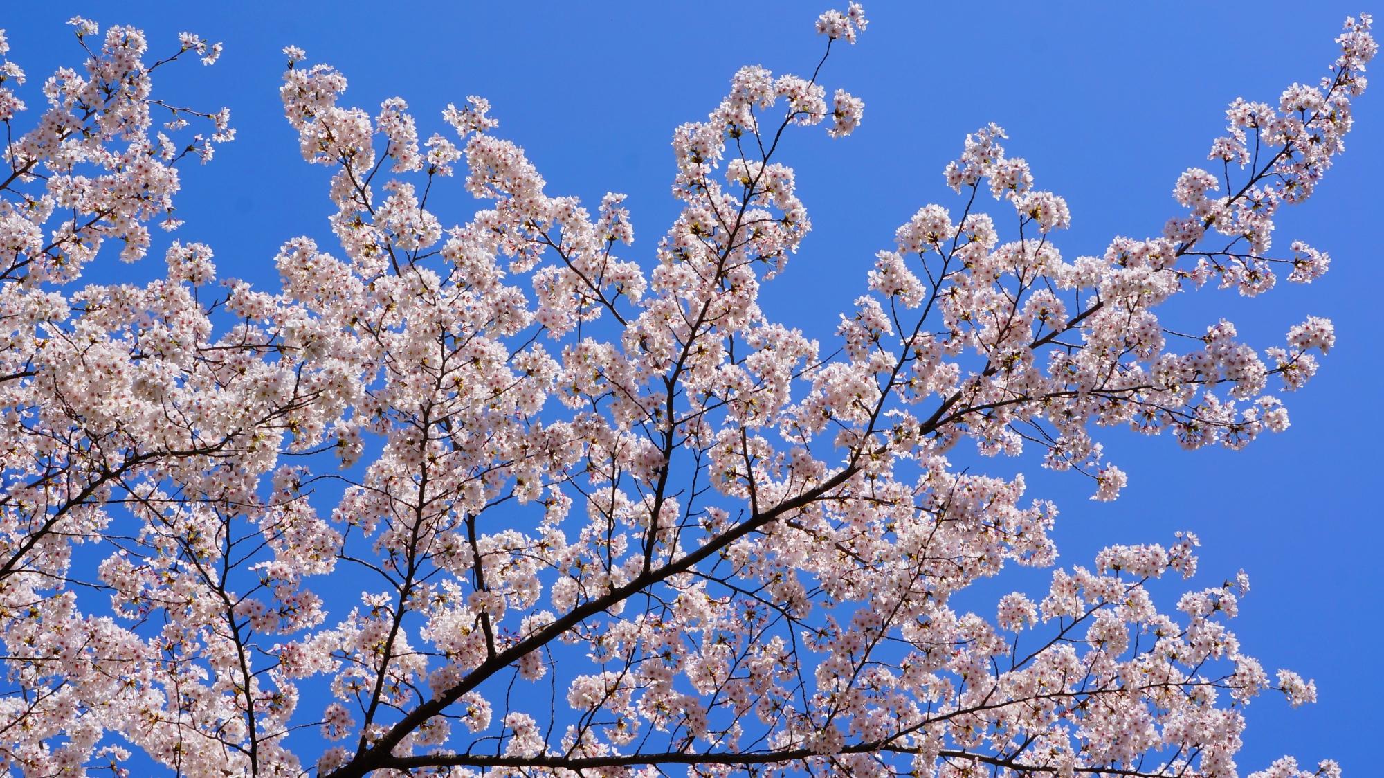爽快な青空に映える華やかな白い桜