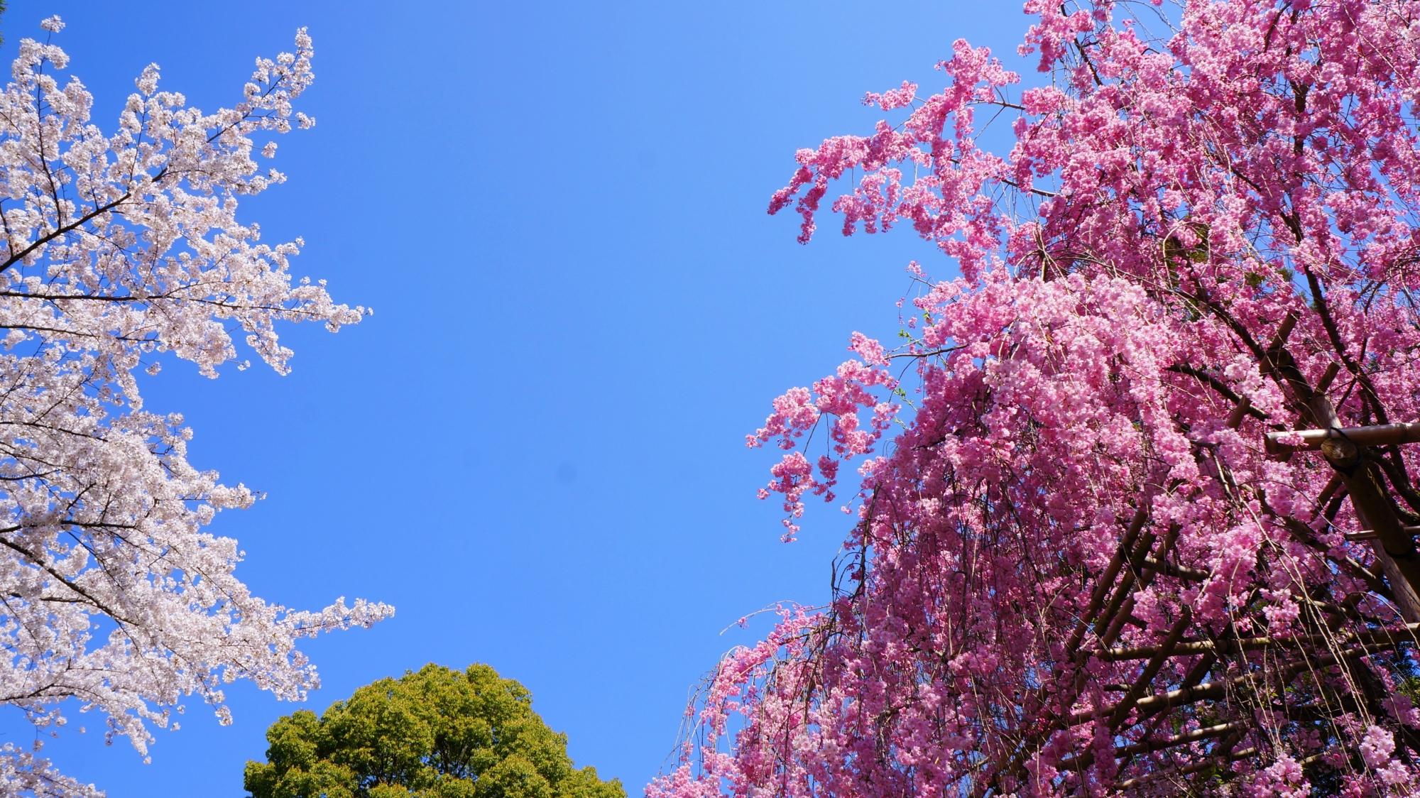 雲一つない青空の下で優雅に咲き誇る紅白の桜