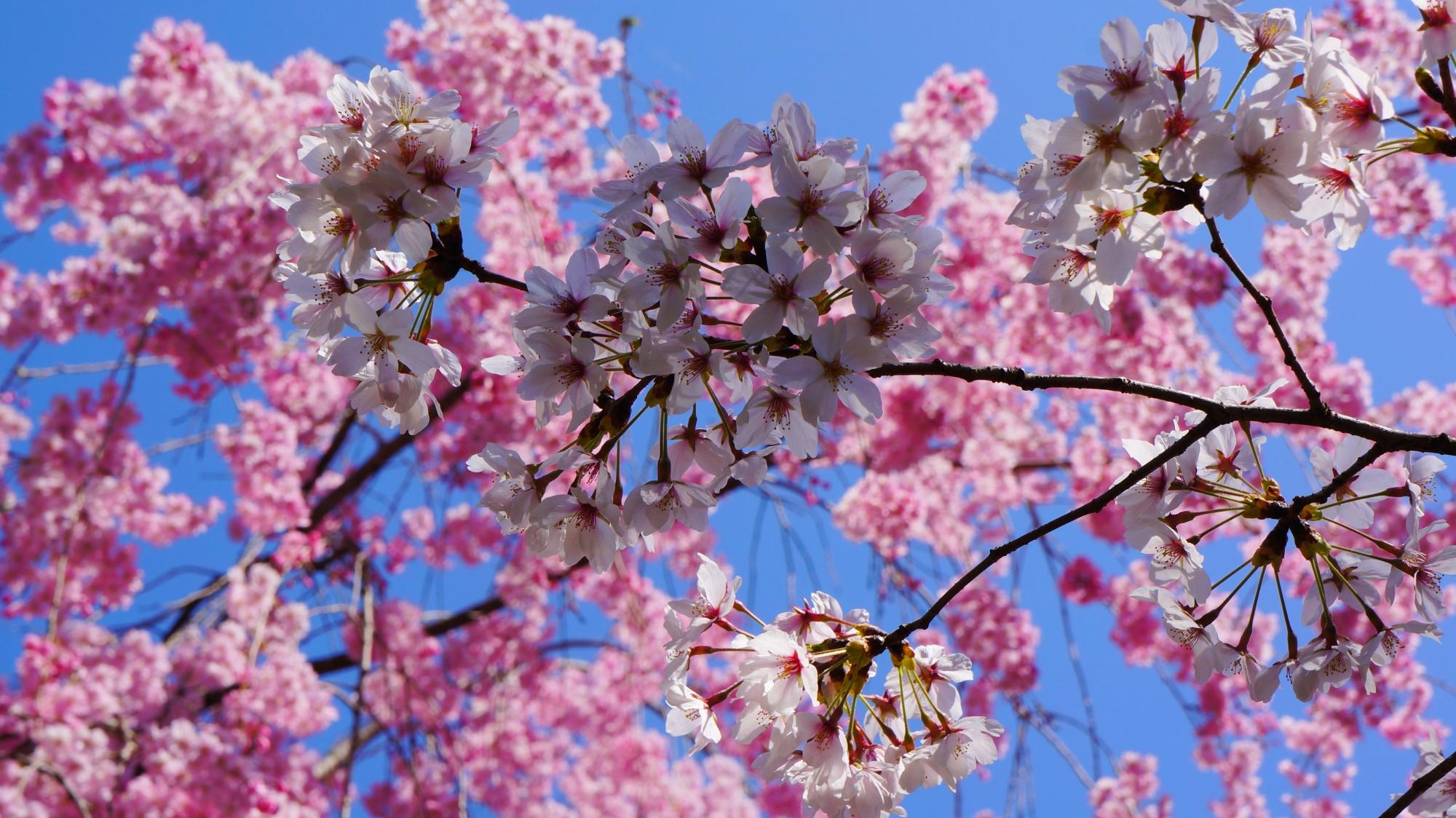 ピンクのしだれ桜と青空を背景にした白い染井吉野