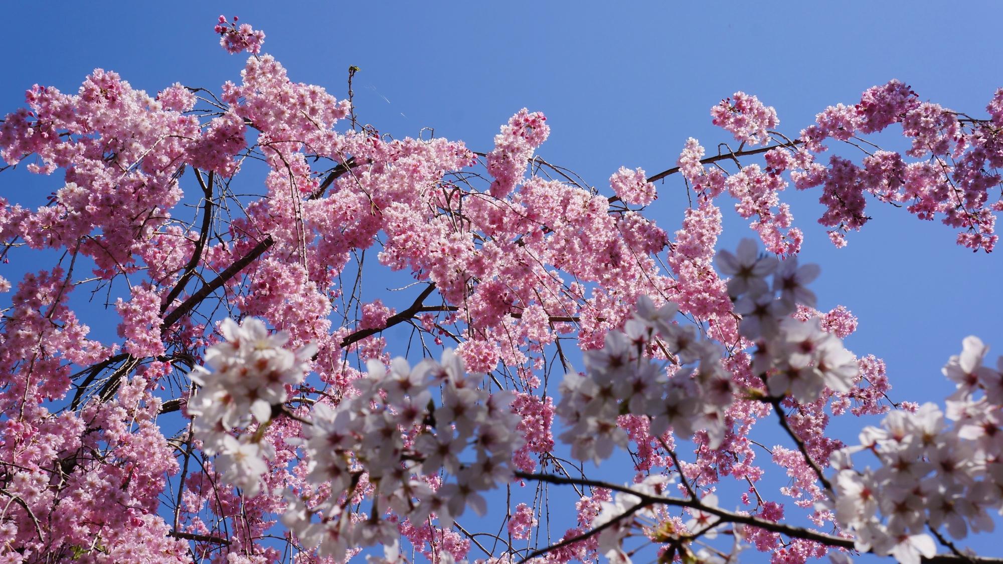 太陽をいっぱいに浴びて煌びやかに輝く桜