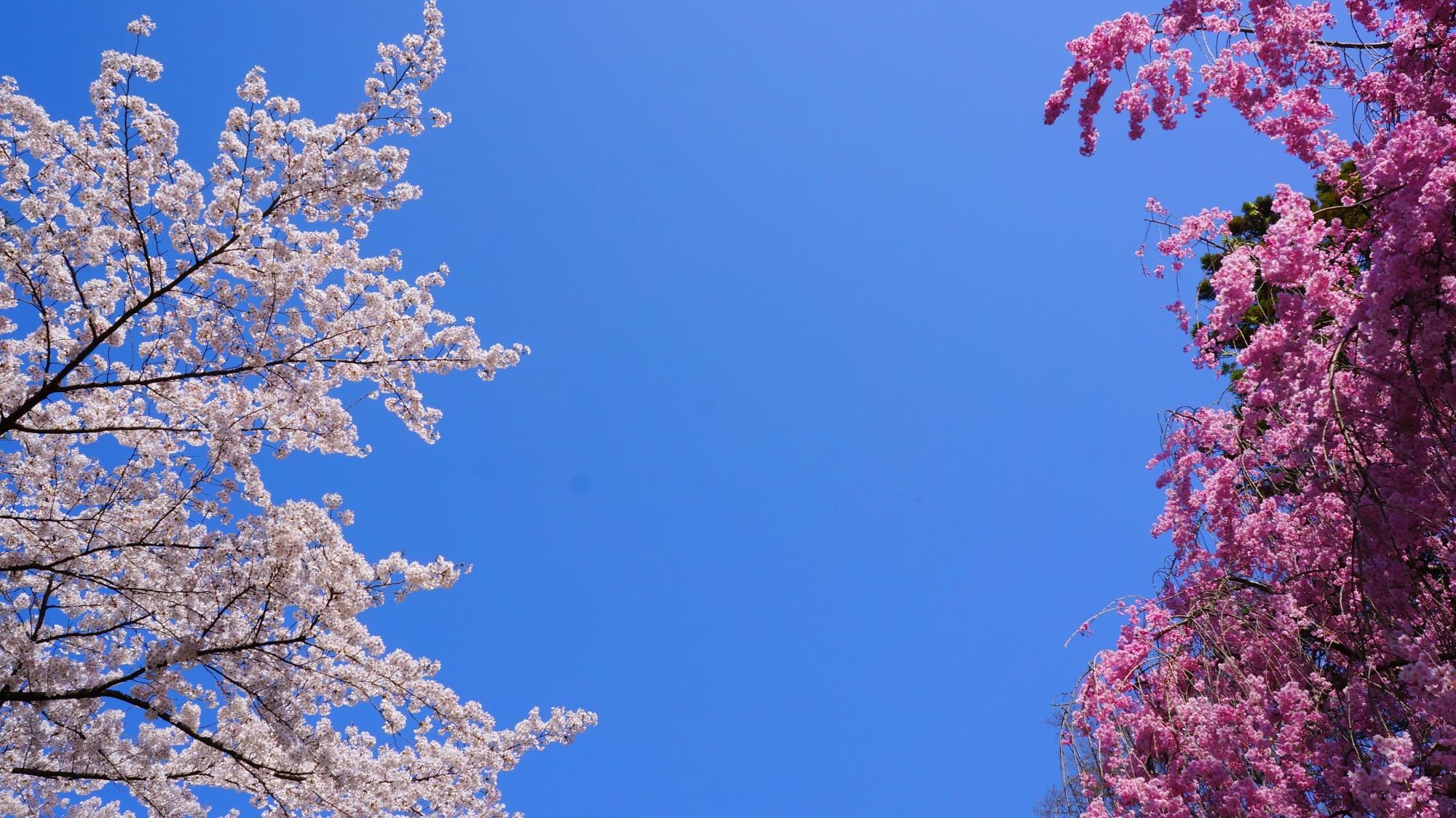 咲き乱れる桜につつまれる春の龍安寺