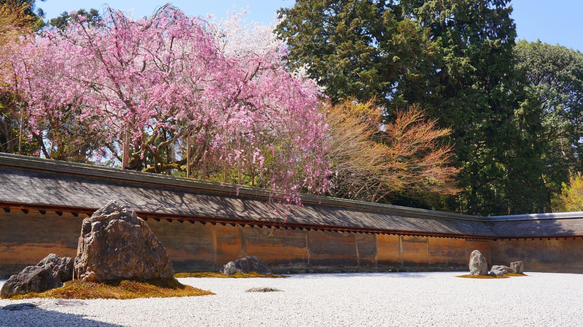 満開の桜が彩る春の石庭