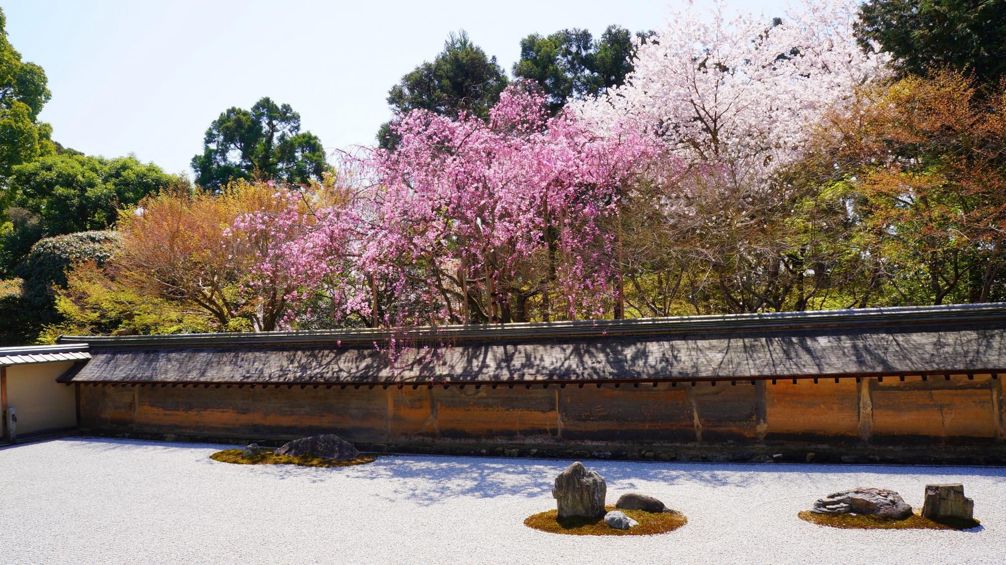 咲き誇る桜が溢れ出す石庭