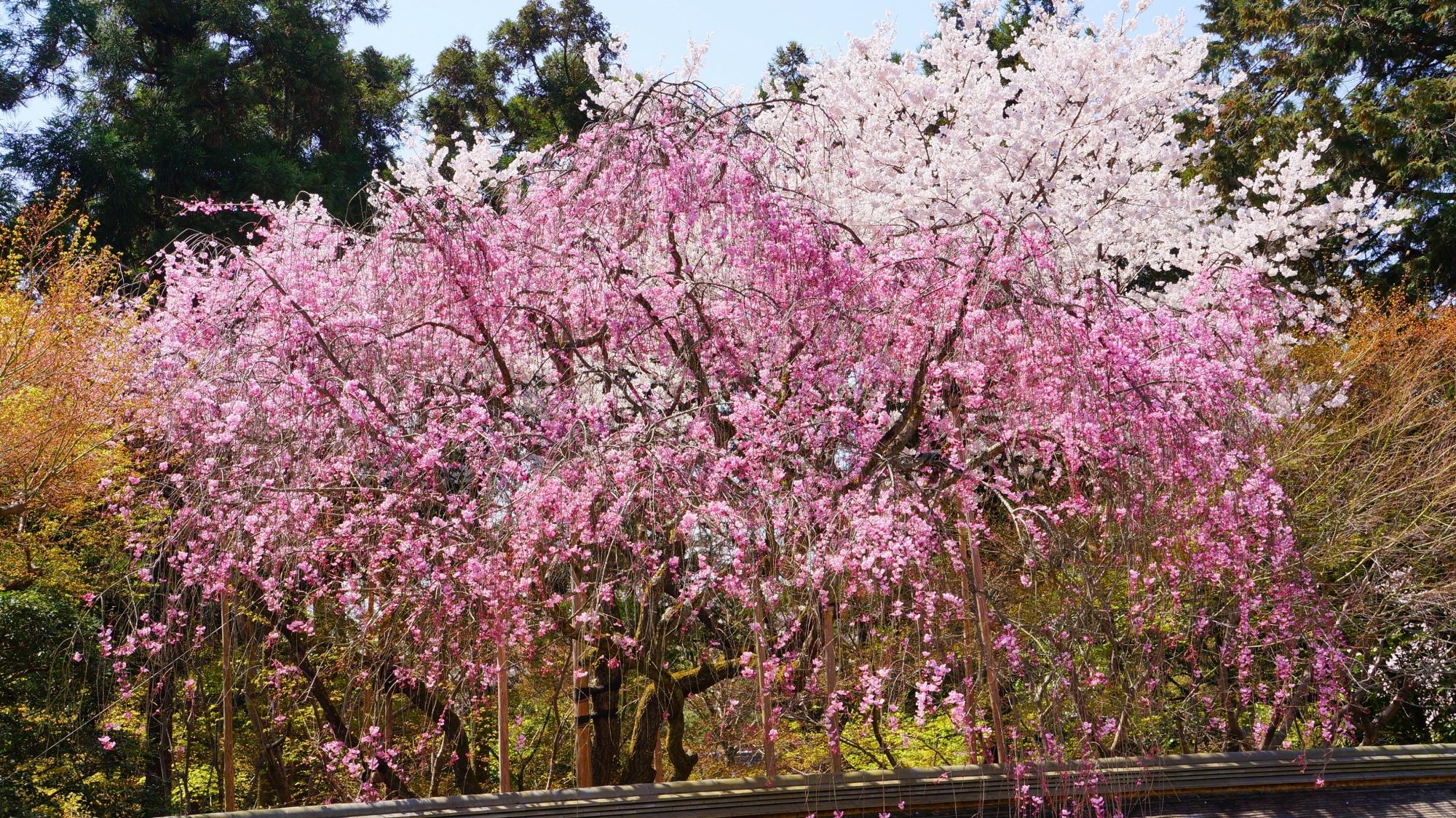 華やかに輝く見事な紅白の桜