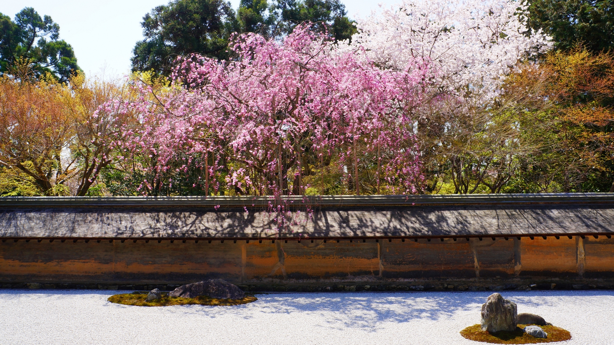 石庭の外から土塀を越えて降り注ぐ桜