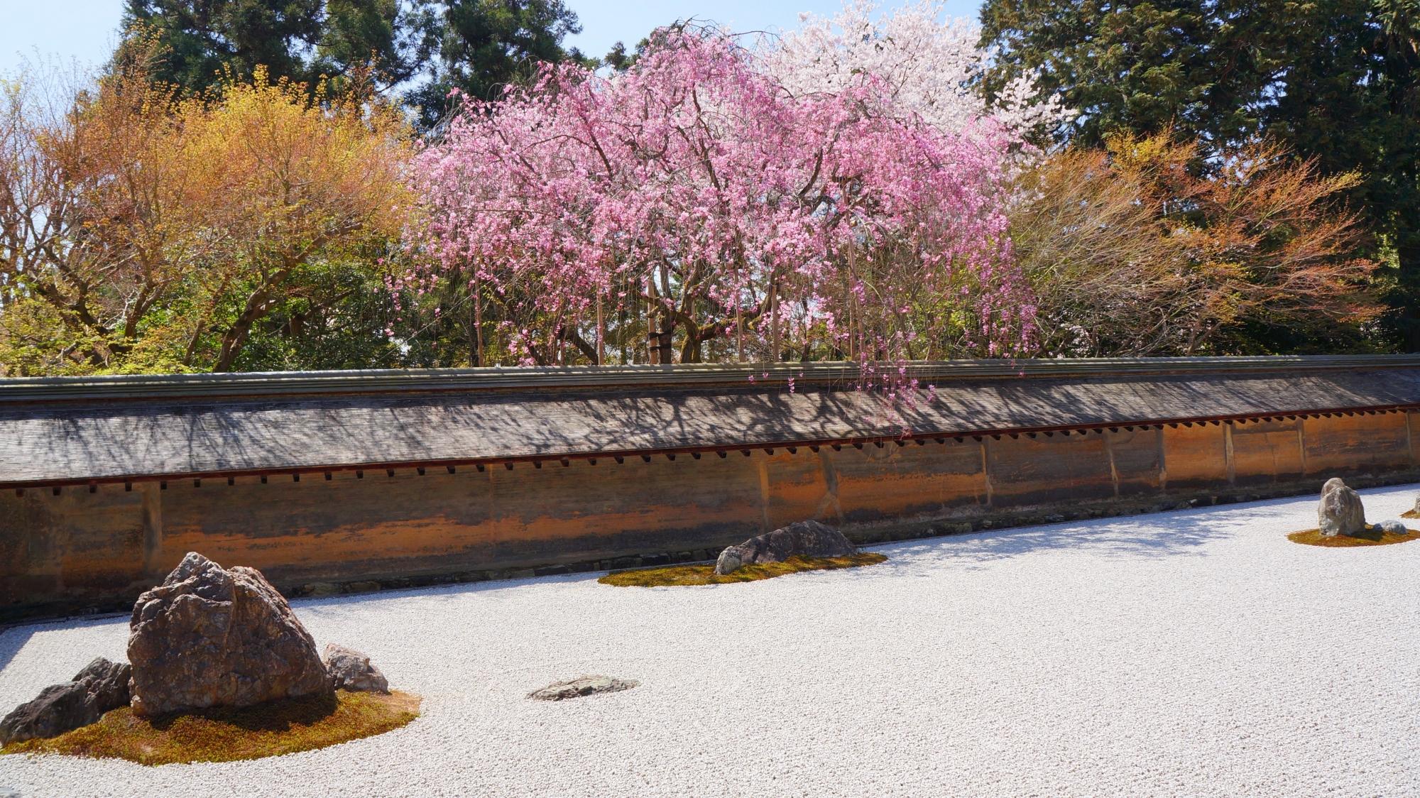 風情ある石庭を明るく彩る絵になる桜