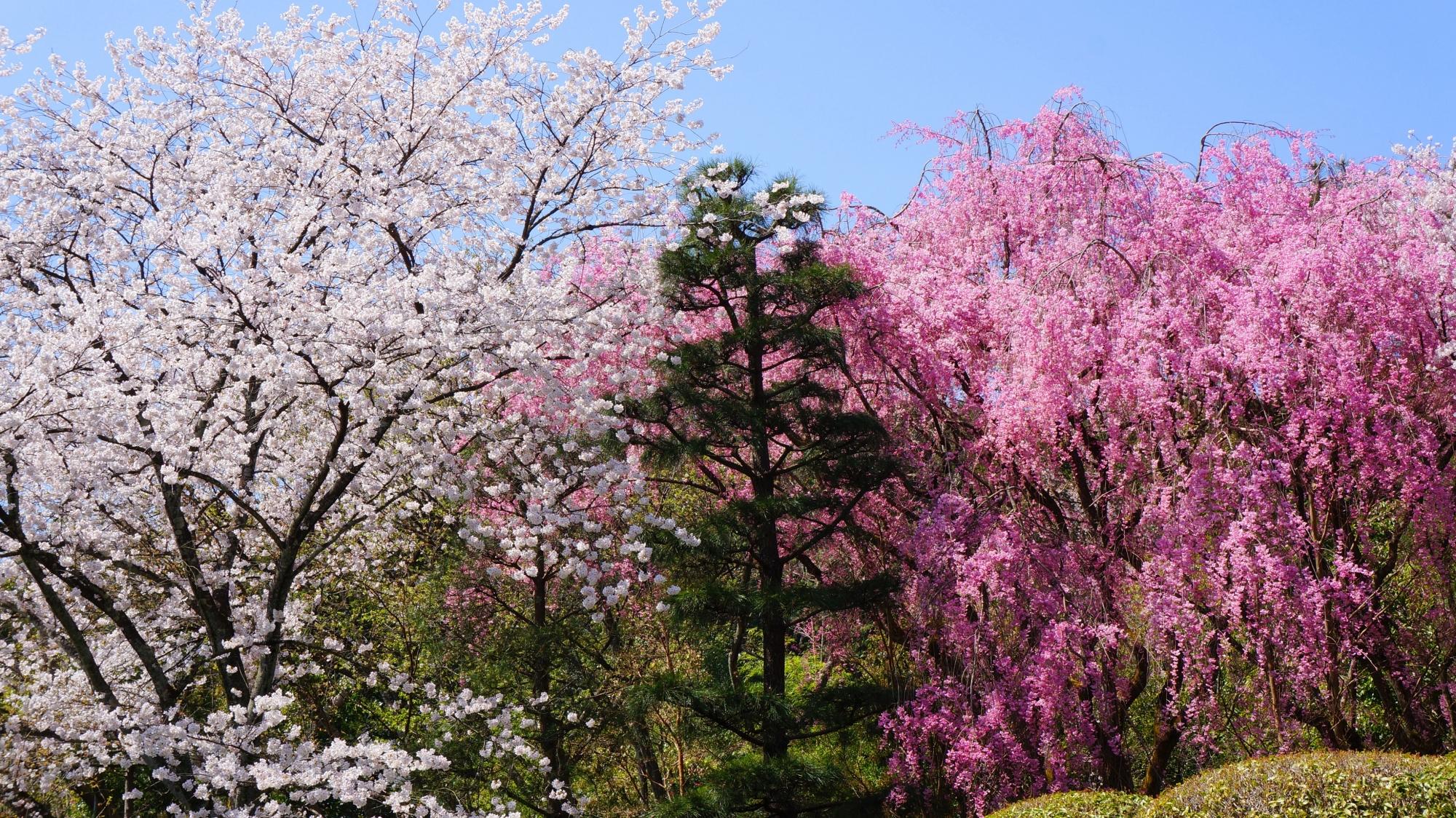 高画質 写真 龍安寺 桜