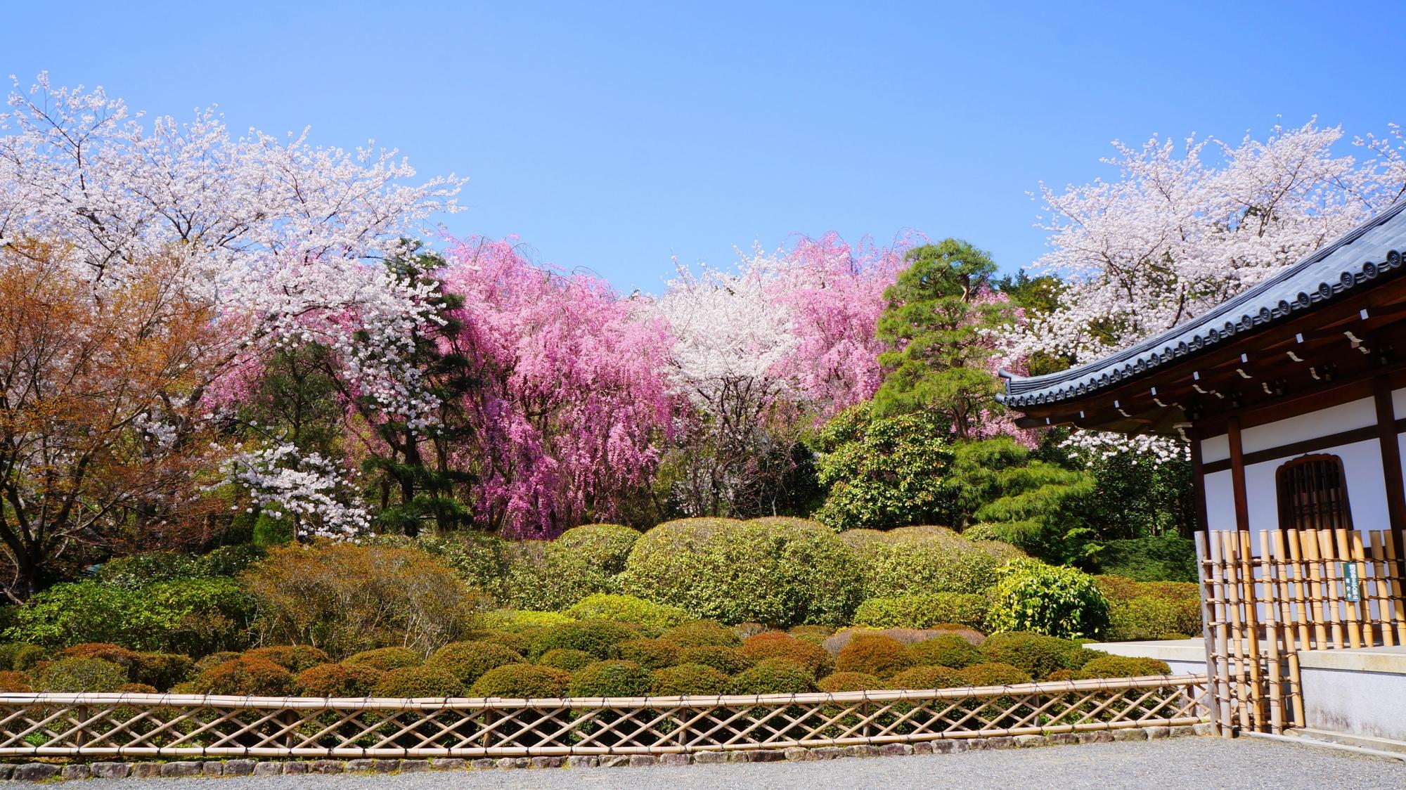 龍安寺の納骨堂前の桜