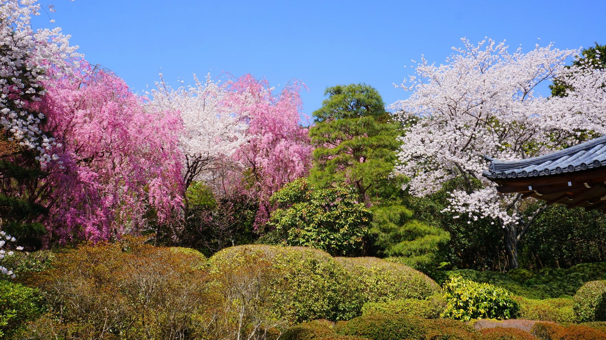緑が入ると趣きが出る桜