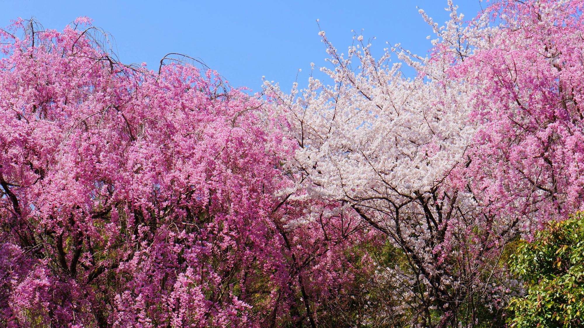 花をいっぱいつけて咲き乱れるピンクのしだれ桜と白いソメイヨシノ