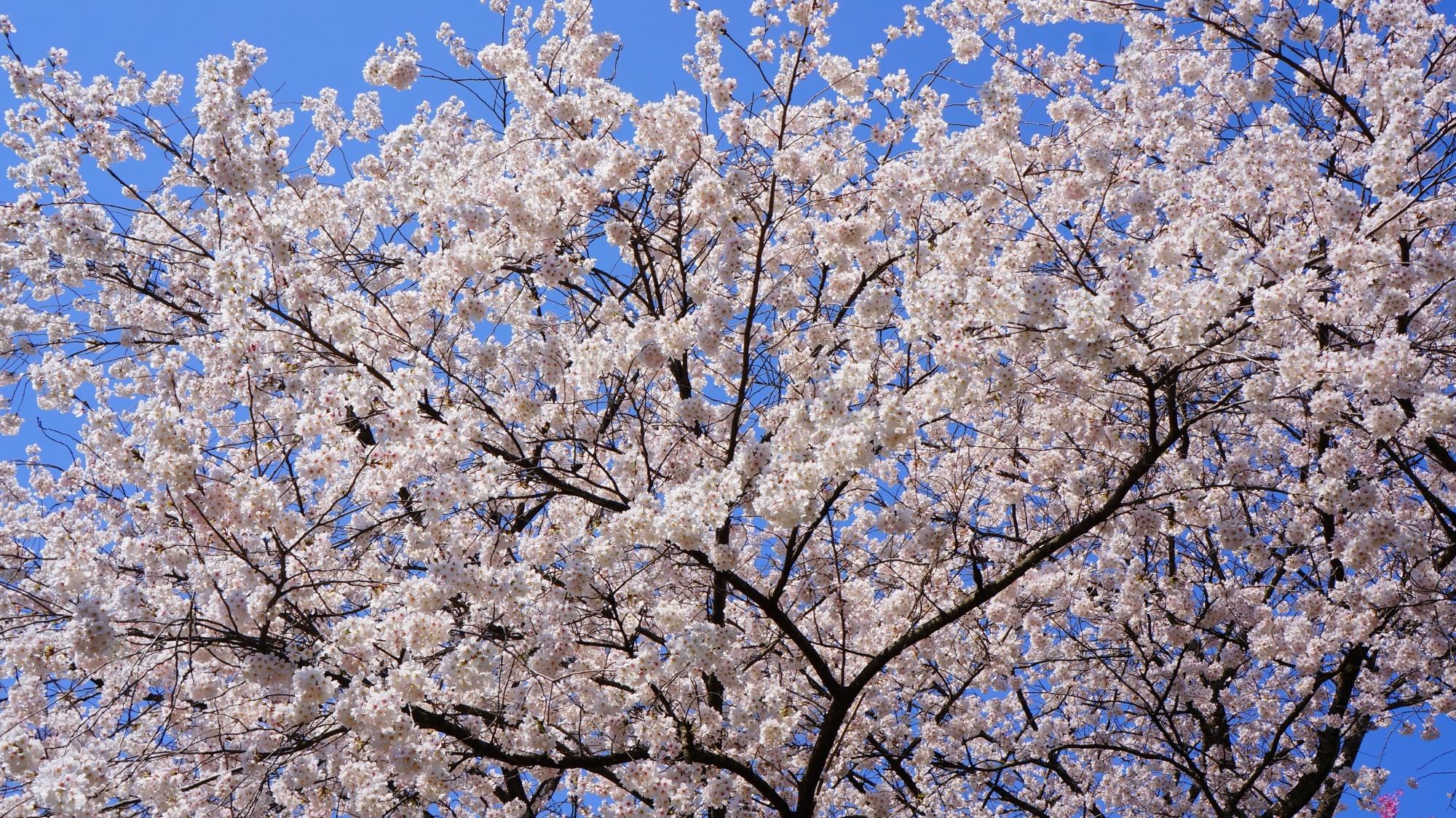 青空を華やかな白に染める見事なソメイヨシノ