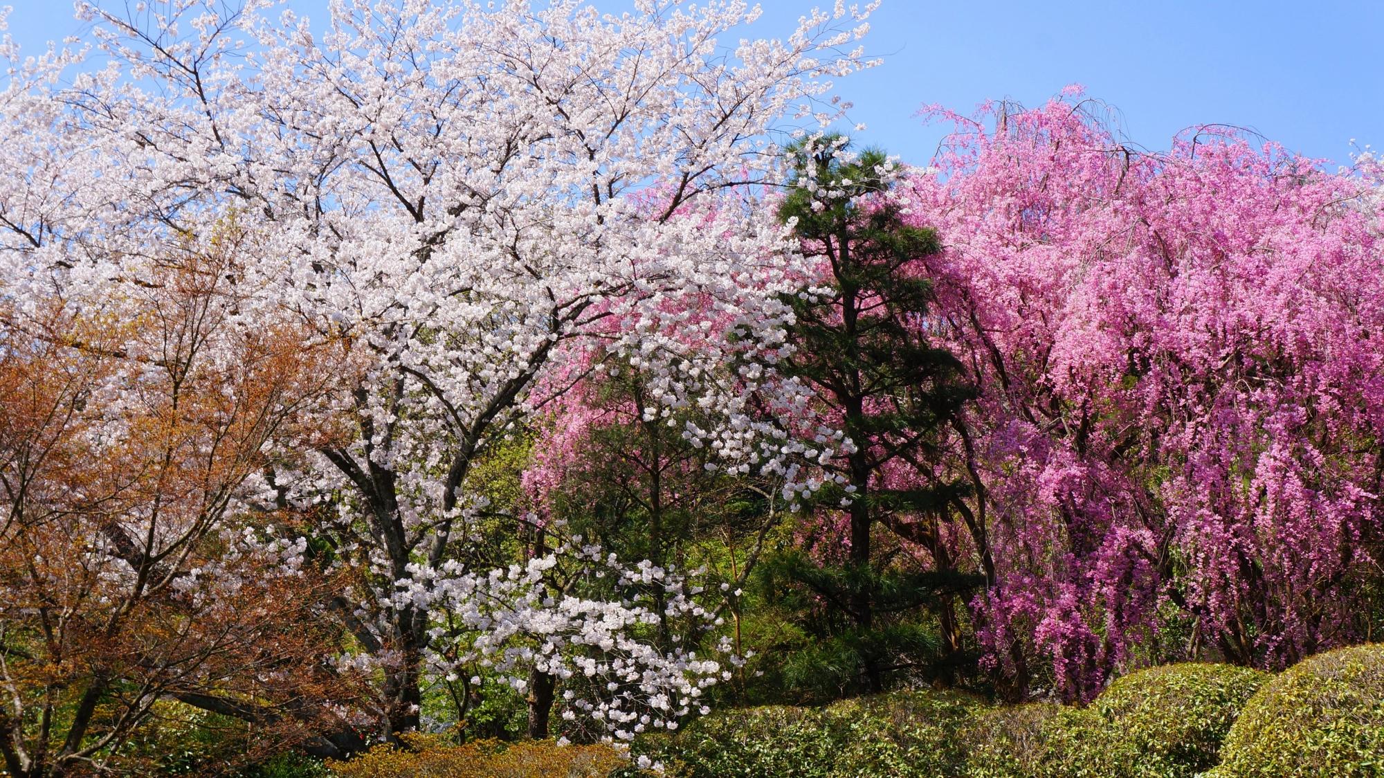 圧巻の桜につつまれる春の龍安寺