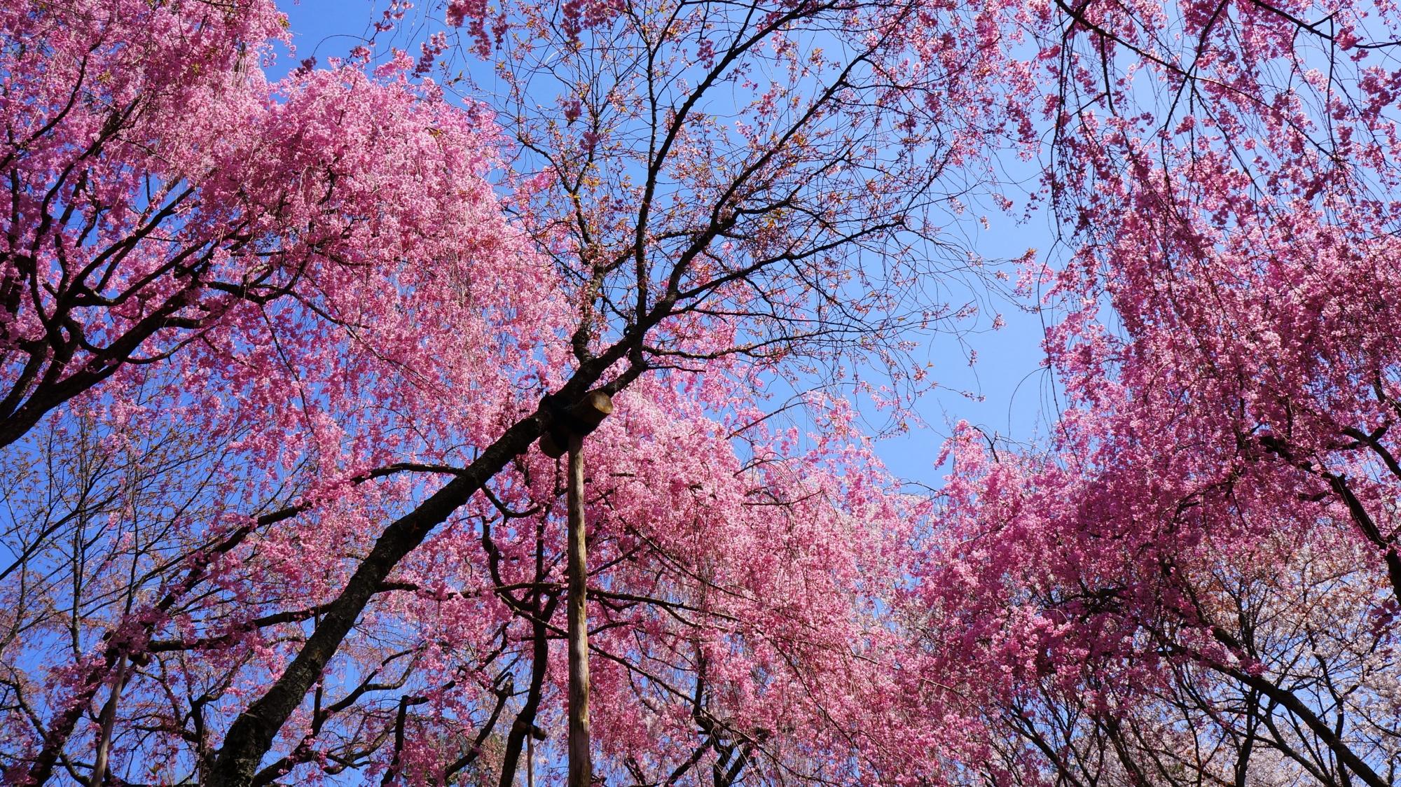 ピンクの春色につつまれる桜苑