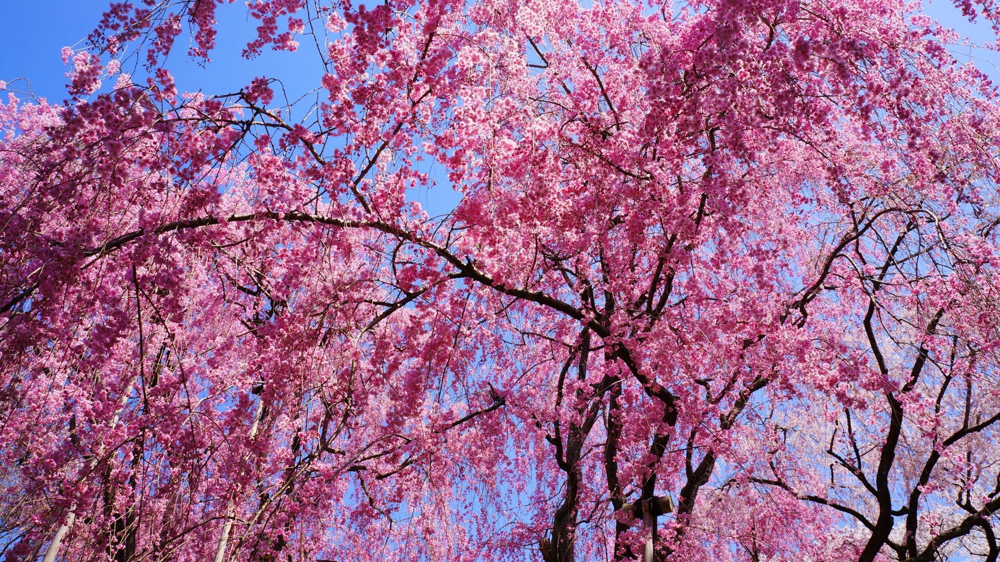 青空から降り注ぐ鮮やかなピンクの桜