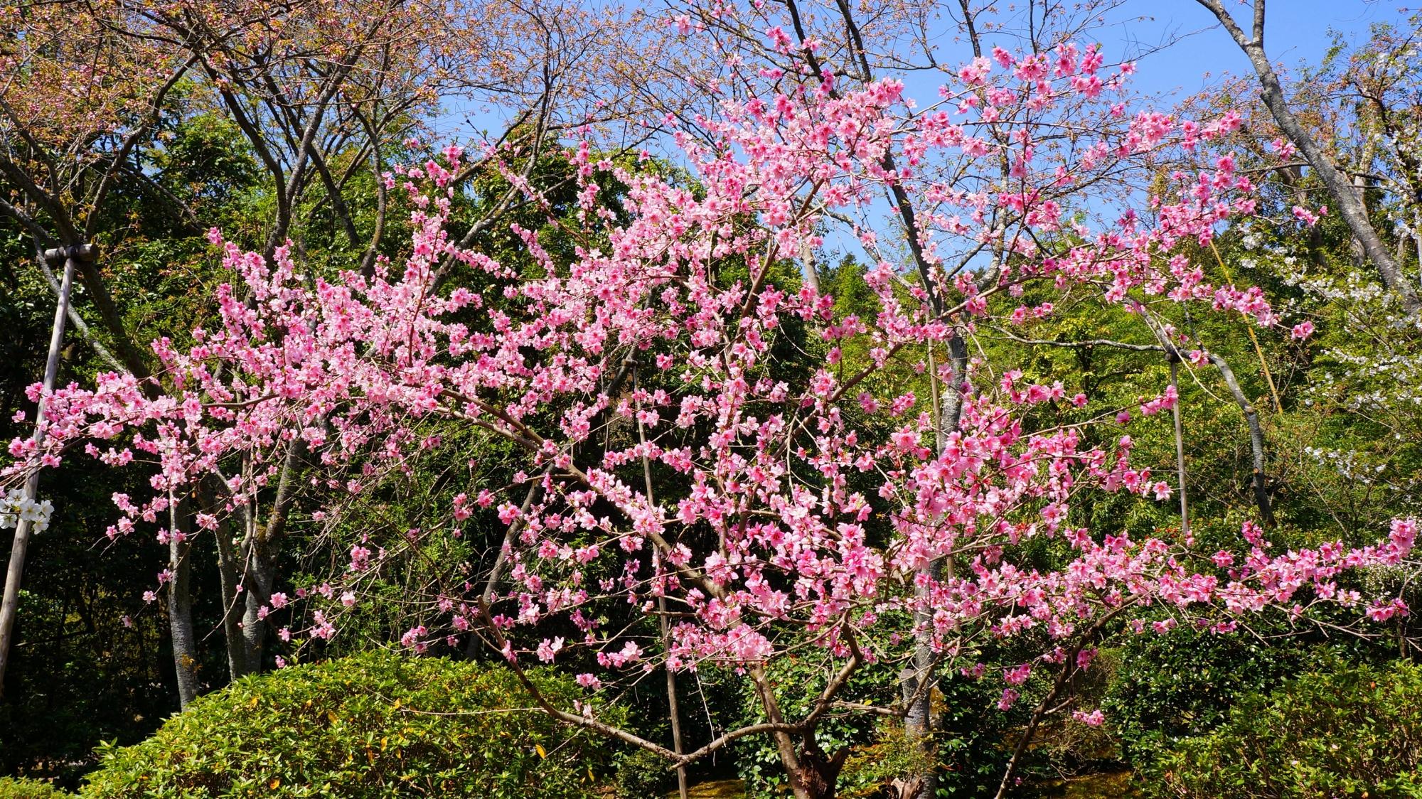 いろんな種類の桜がある龍安寺