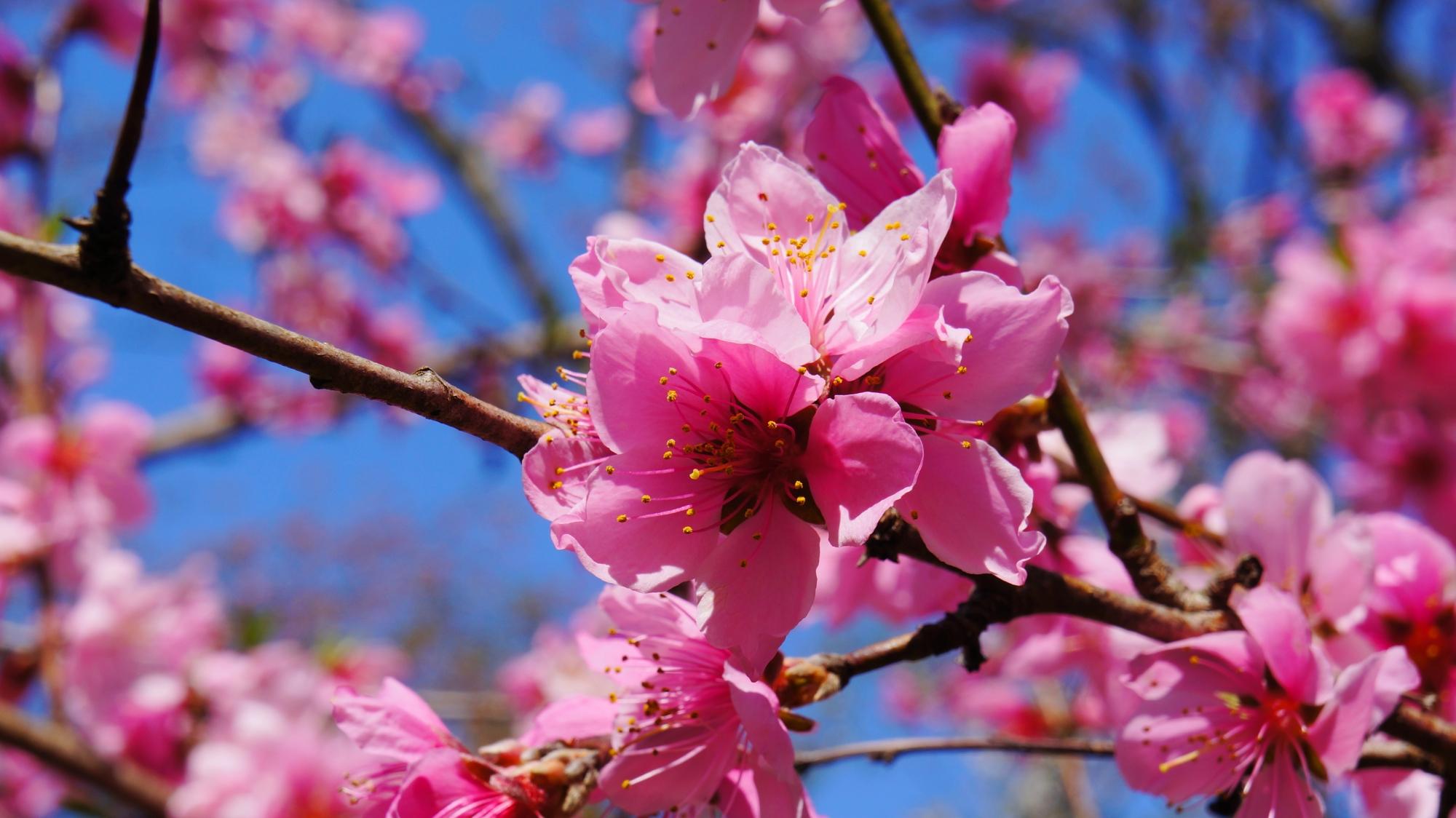 太陽に照らされて見事に咲き誇るピンクの桜