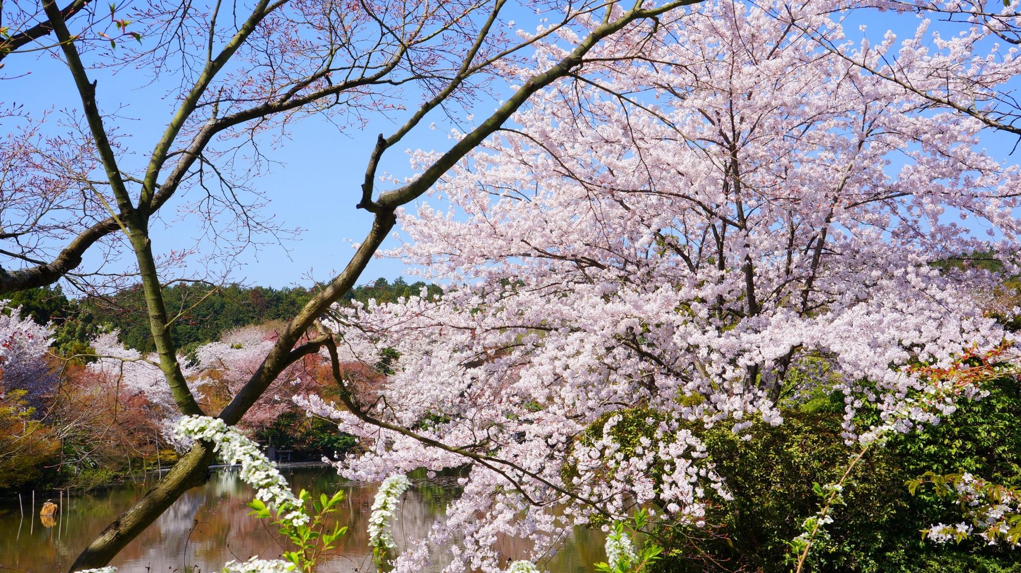 青空の下で豪快に咲き誇る龍安寺のサクラ