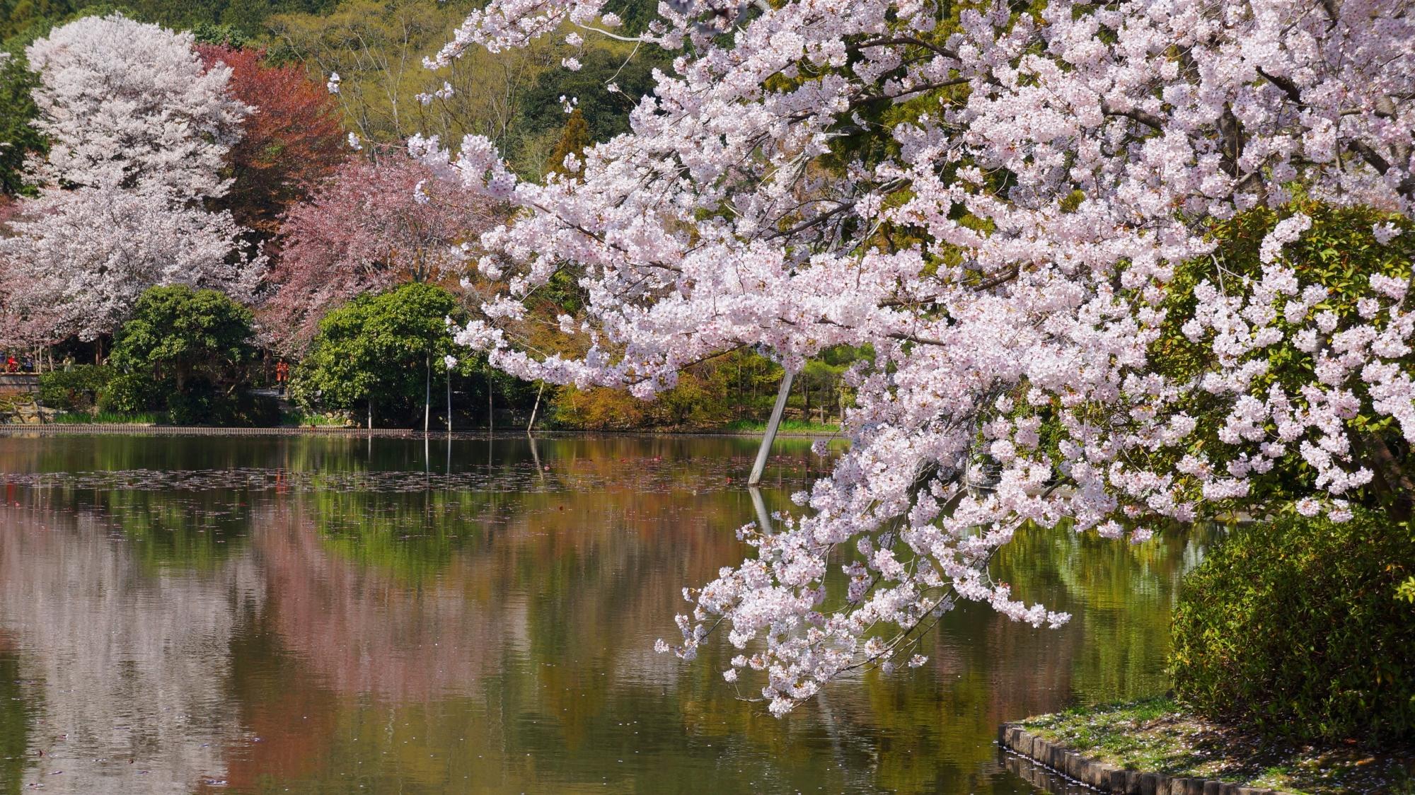 龍安寺の鏡容池の桜