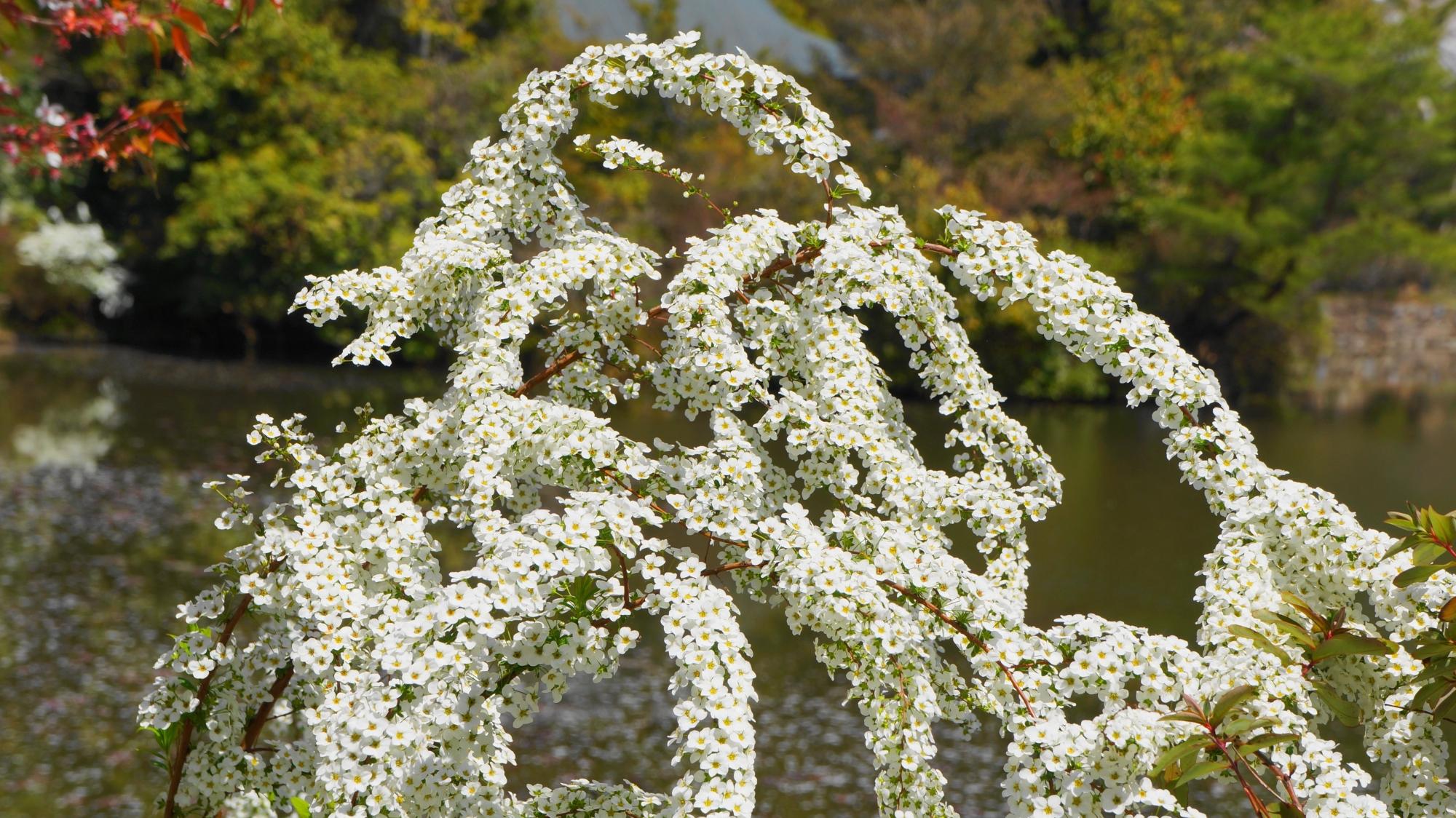龍安寺に咲く雪柳や他の花も