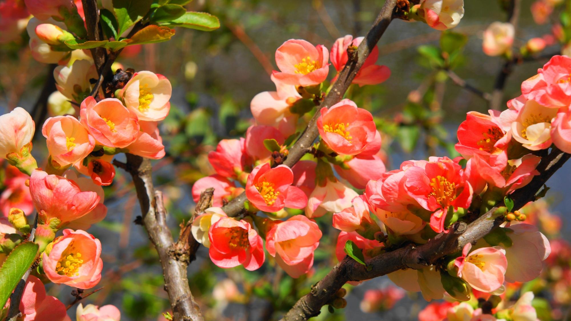 いっぱい咲く朱色に近いピンクの可愛い花