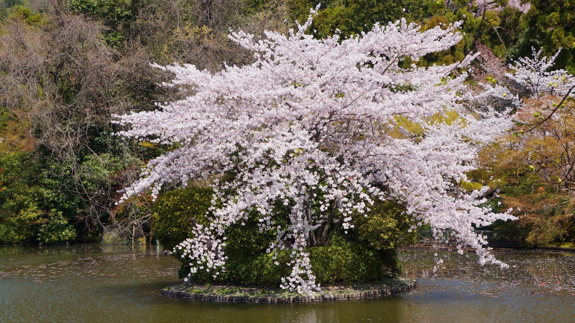 水辺を彩る鏡容池の満開の桜