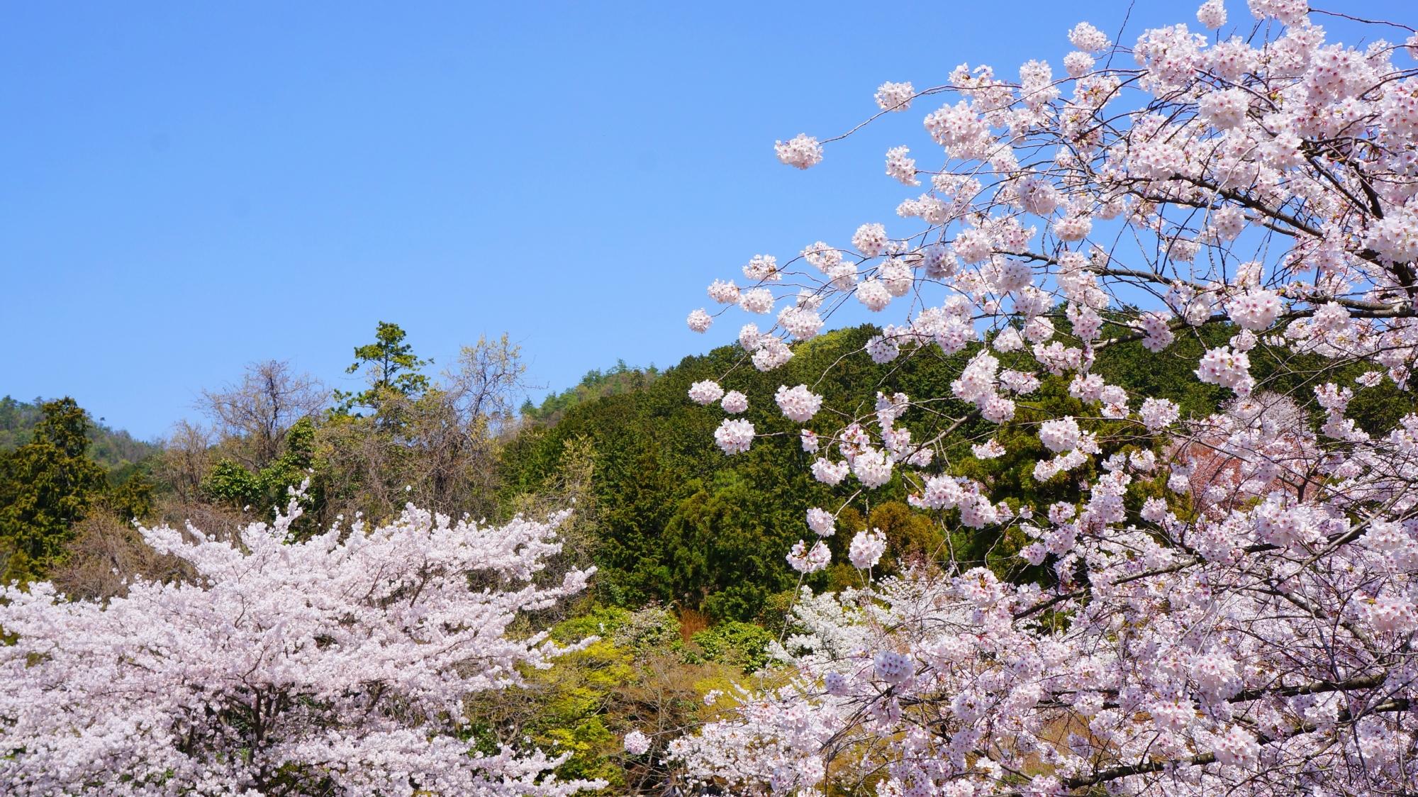龍安寺の素晴らしい桜と春の情景