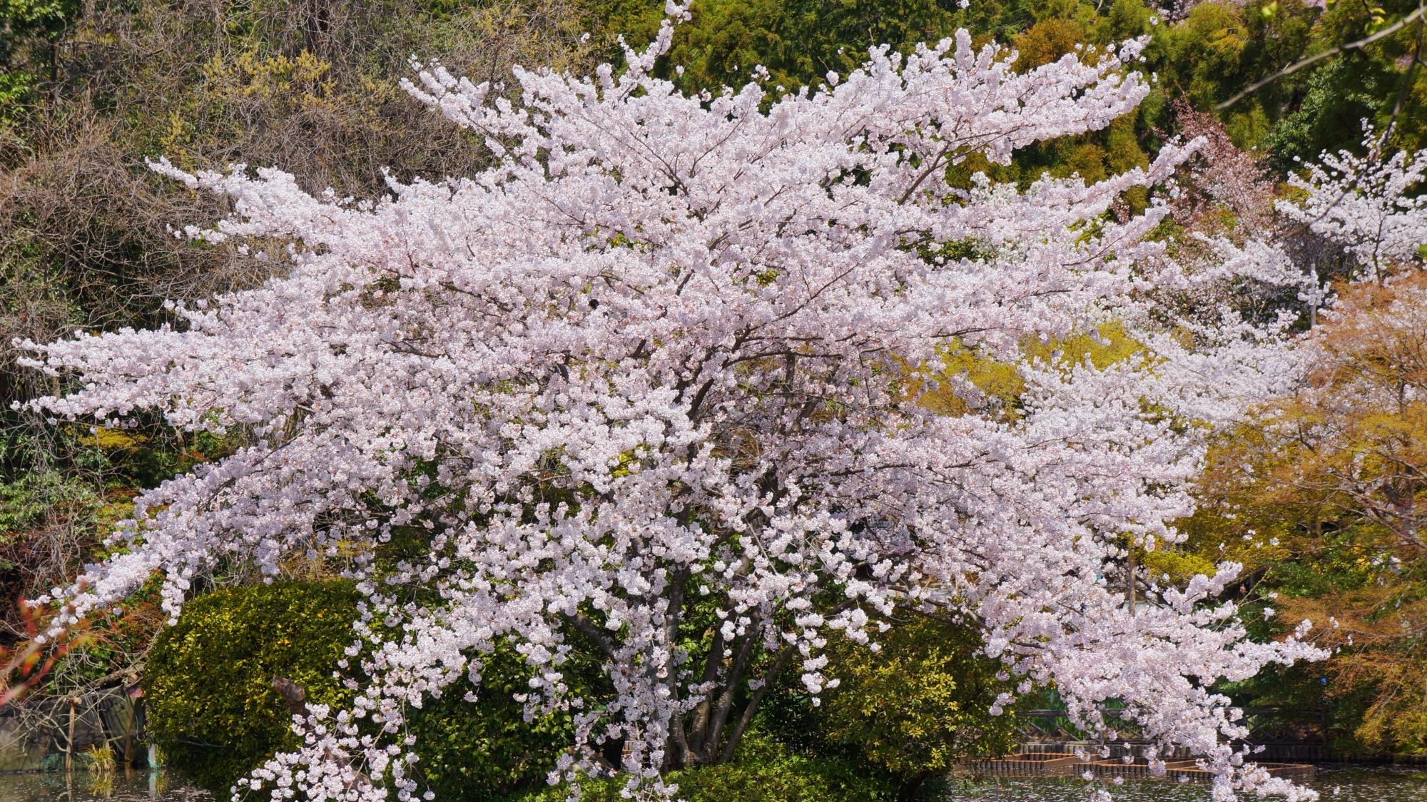 満開の花をいっぱいにつけた枝を優雅に広げる桜