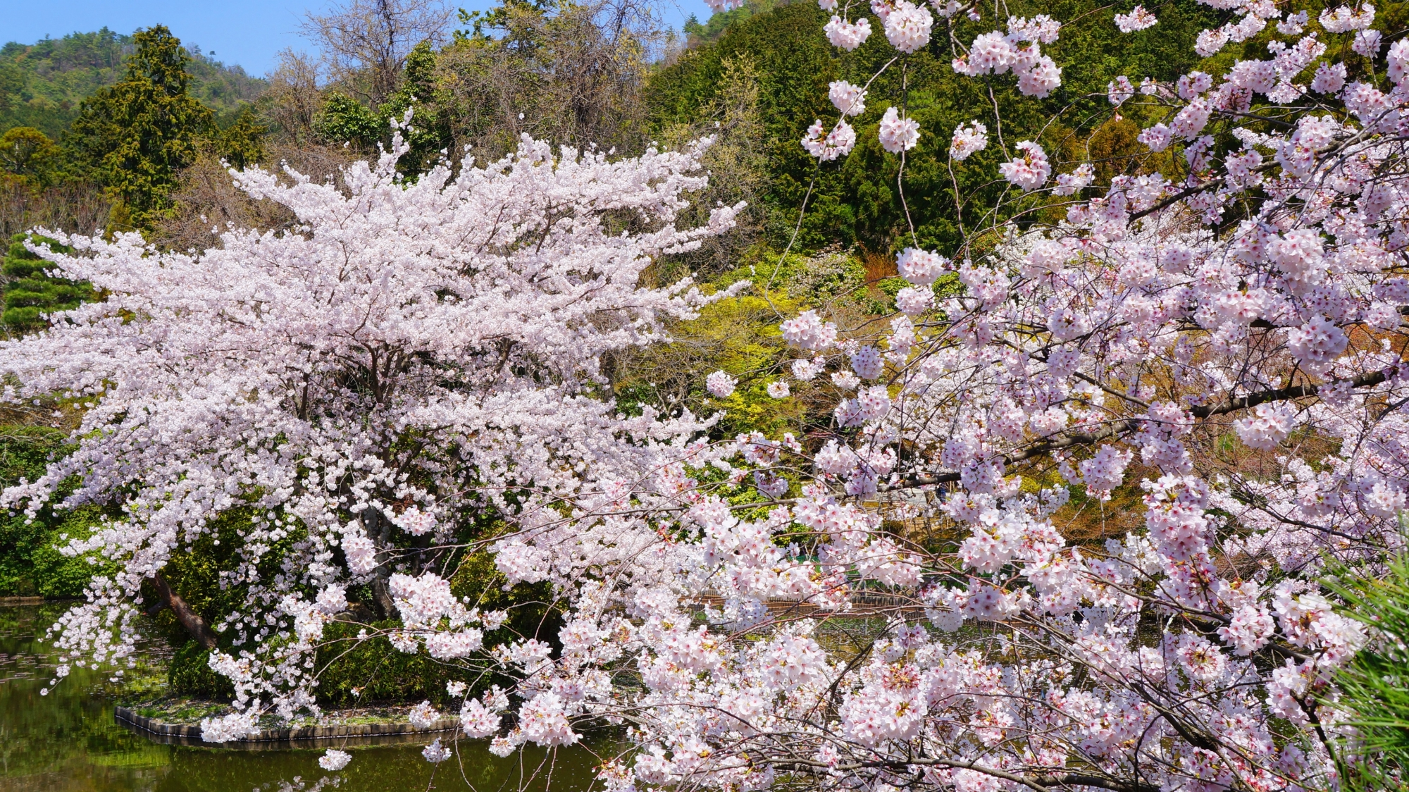 咲き乱れる桜につつまれる龍安寺(りょうあんじ)