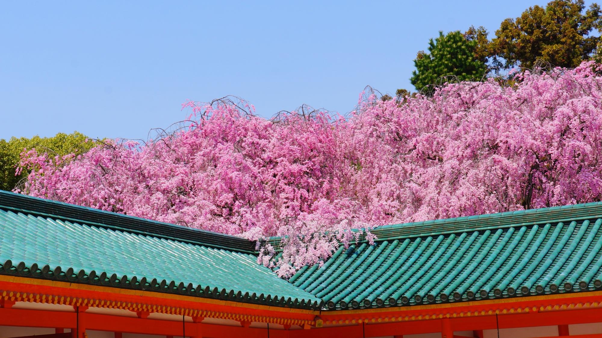 屋根から溢れ出す豪快に咲き誇る桜