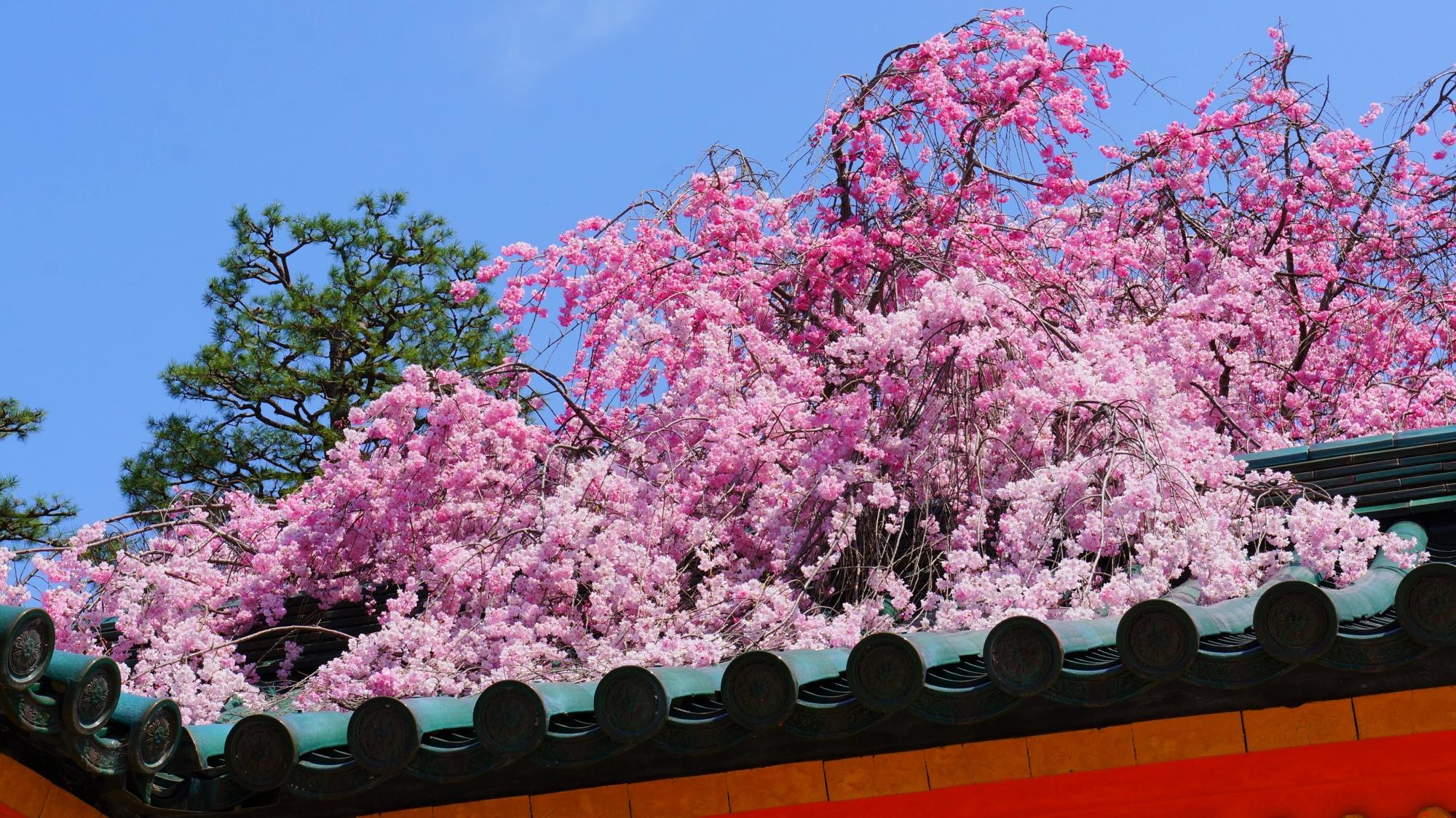 屋根の上で豪快に咲き乱れるしだれ桜