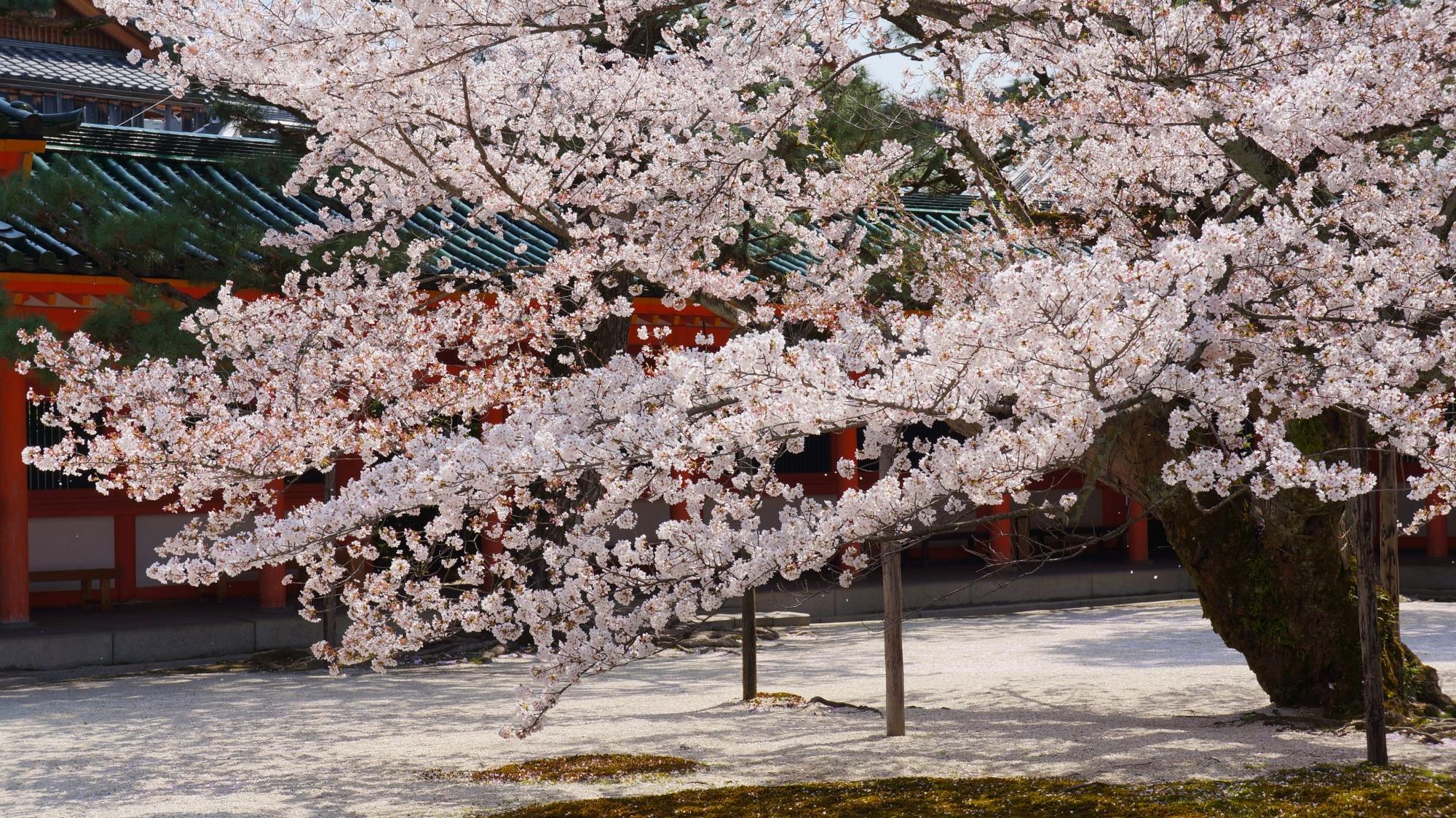 優雅に咲き誇る桜