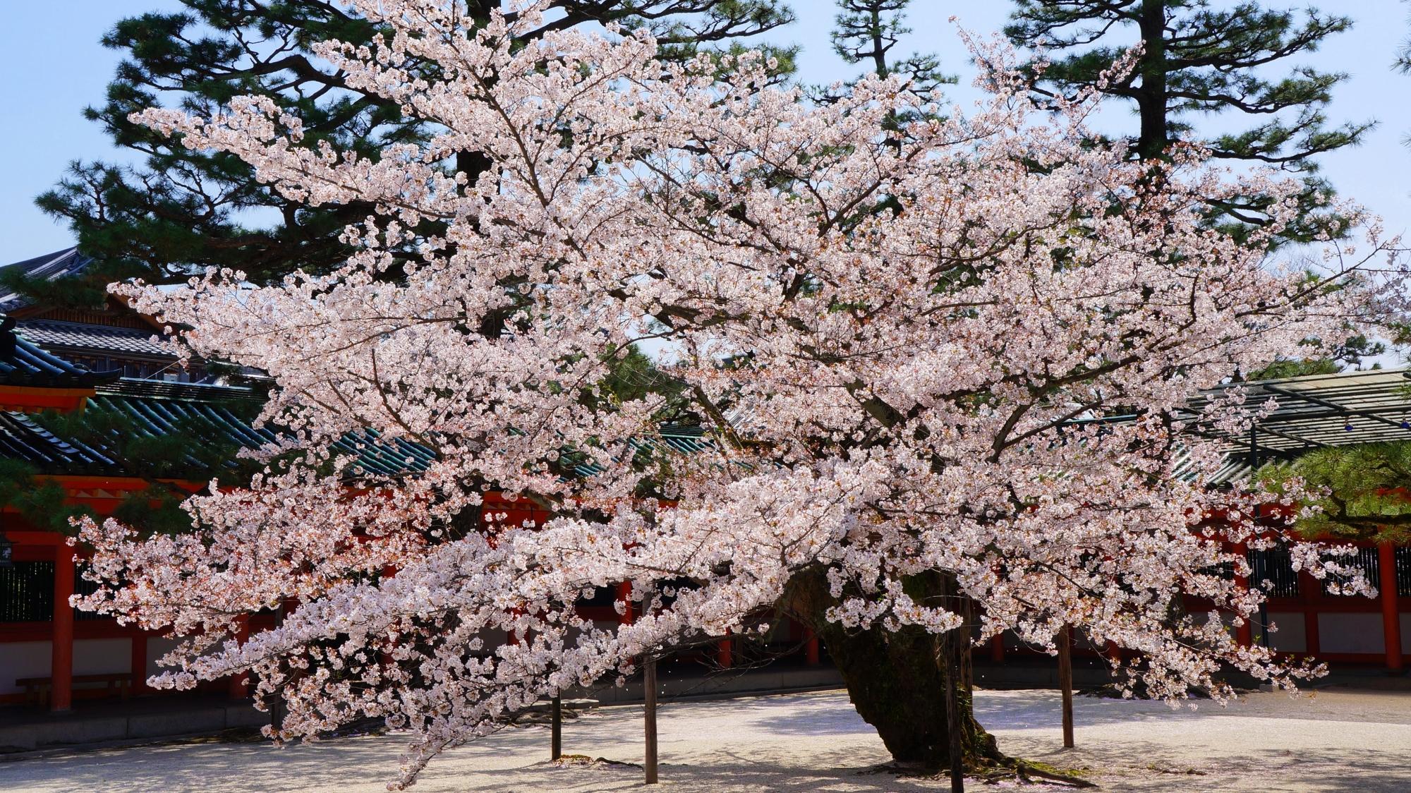 平安神宮の満開の美しい形のソメイヨシノ