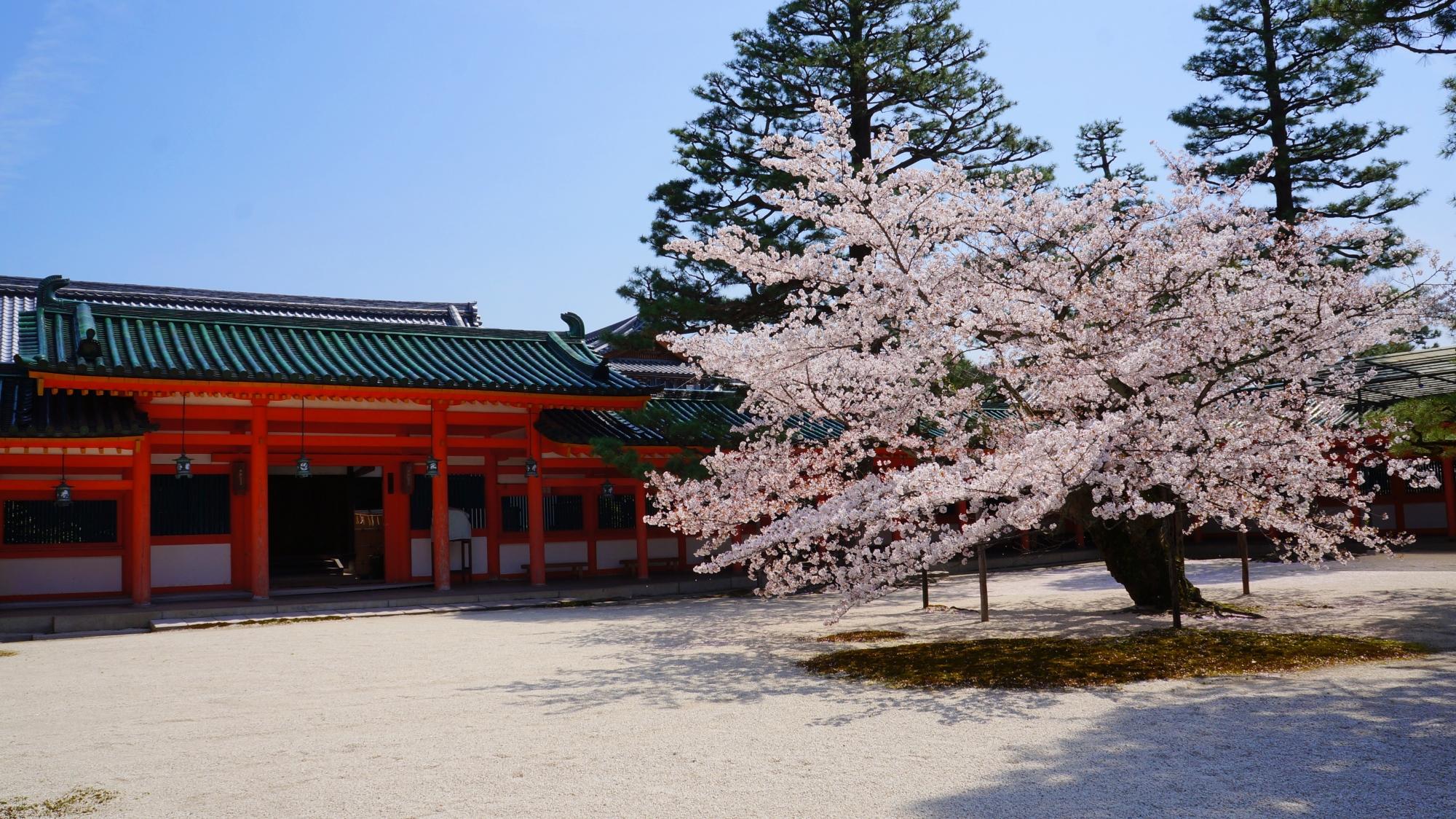 平安神宮の東門前の桜