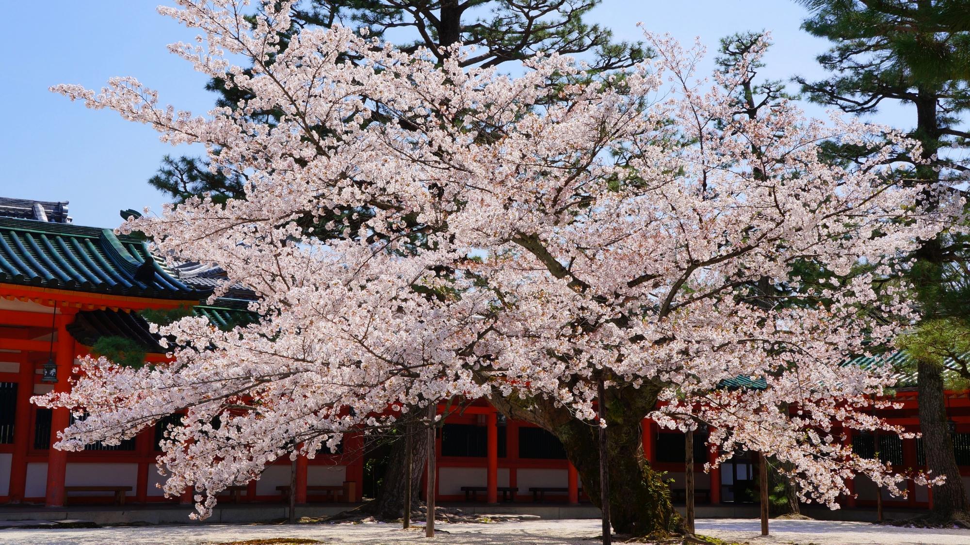 平安神宮の素晴らしい桜と春の情景