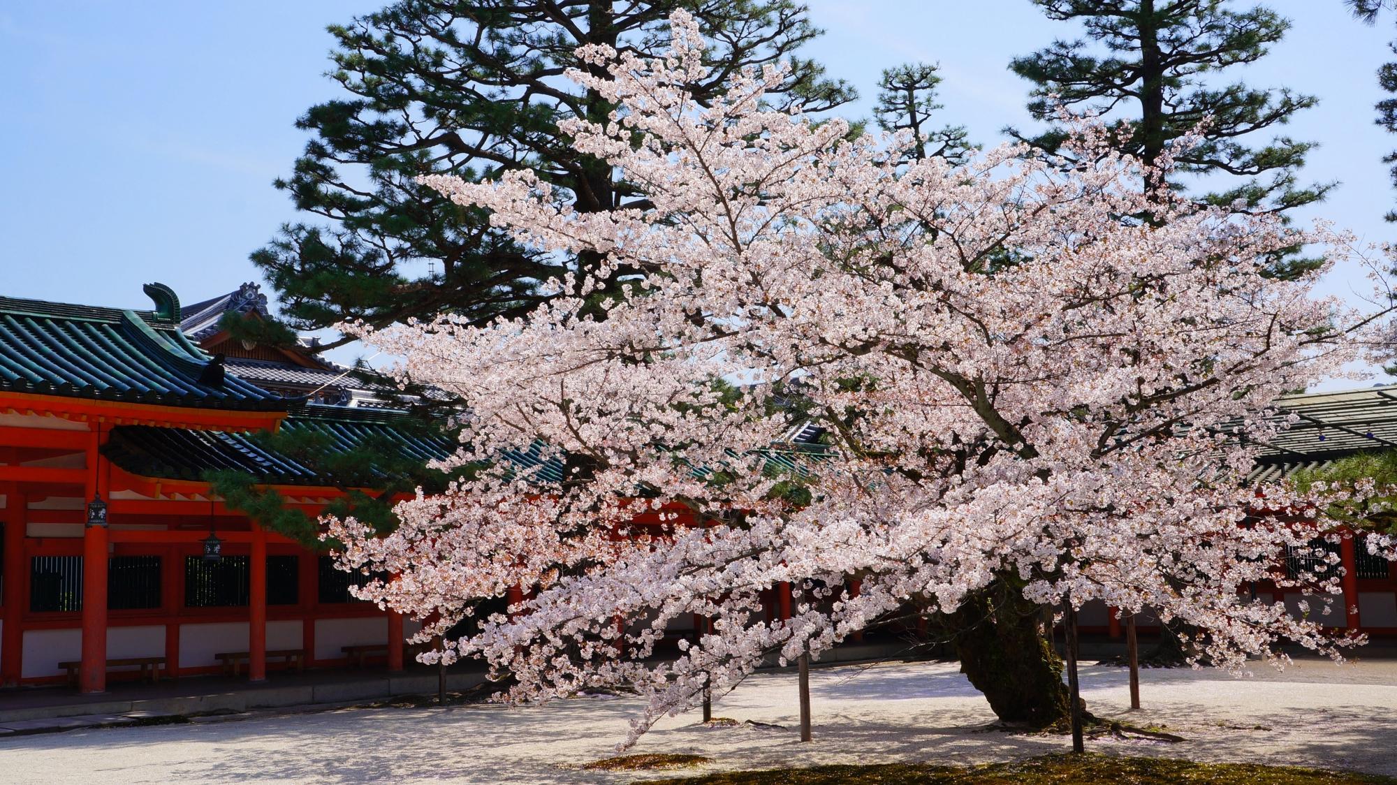 青空に映える華やかな色合いの桜