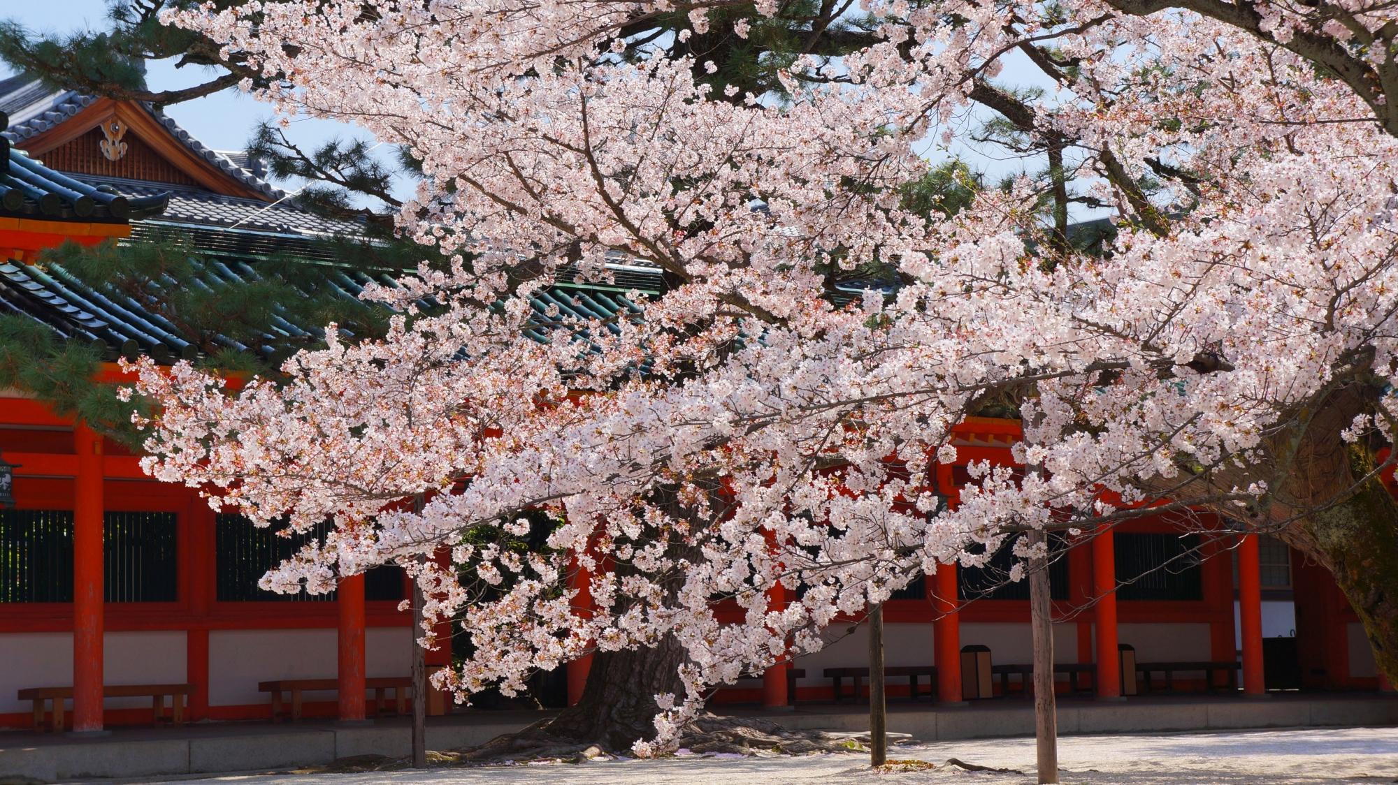平安神宮の上品な境内を見事に彩る春色