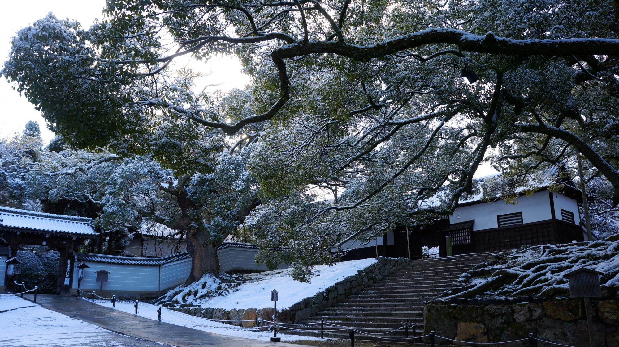 青蓮院 雪 白く染まった大きなクスノキ