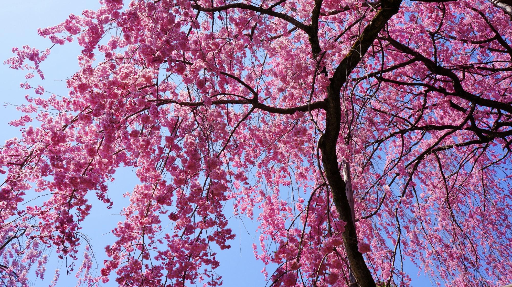 青空を彩る鮮やかなピンクの桜