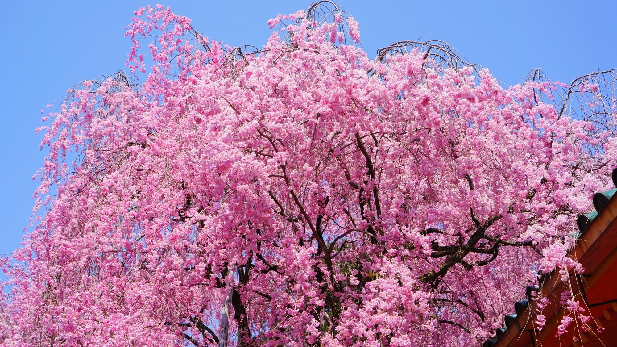 豪快に咲き乱れる神苑のしだれ桜