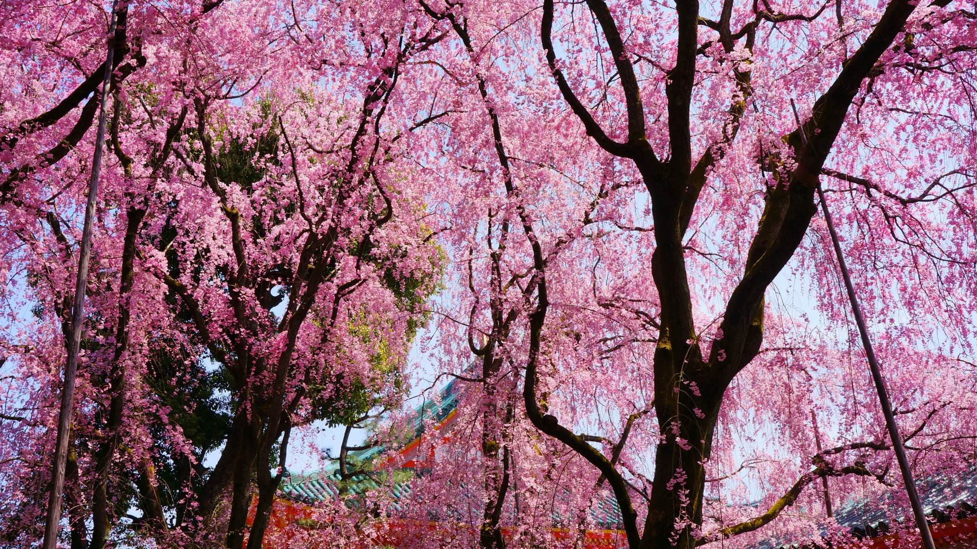 春の神苑のしだれ桜のピンクのシャワー