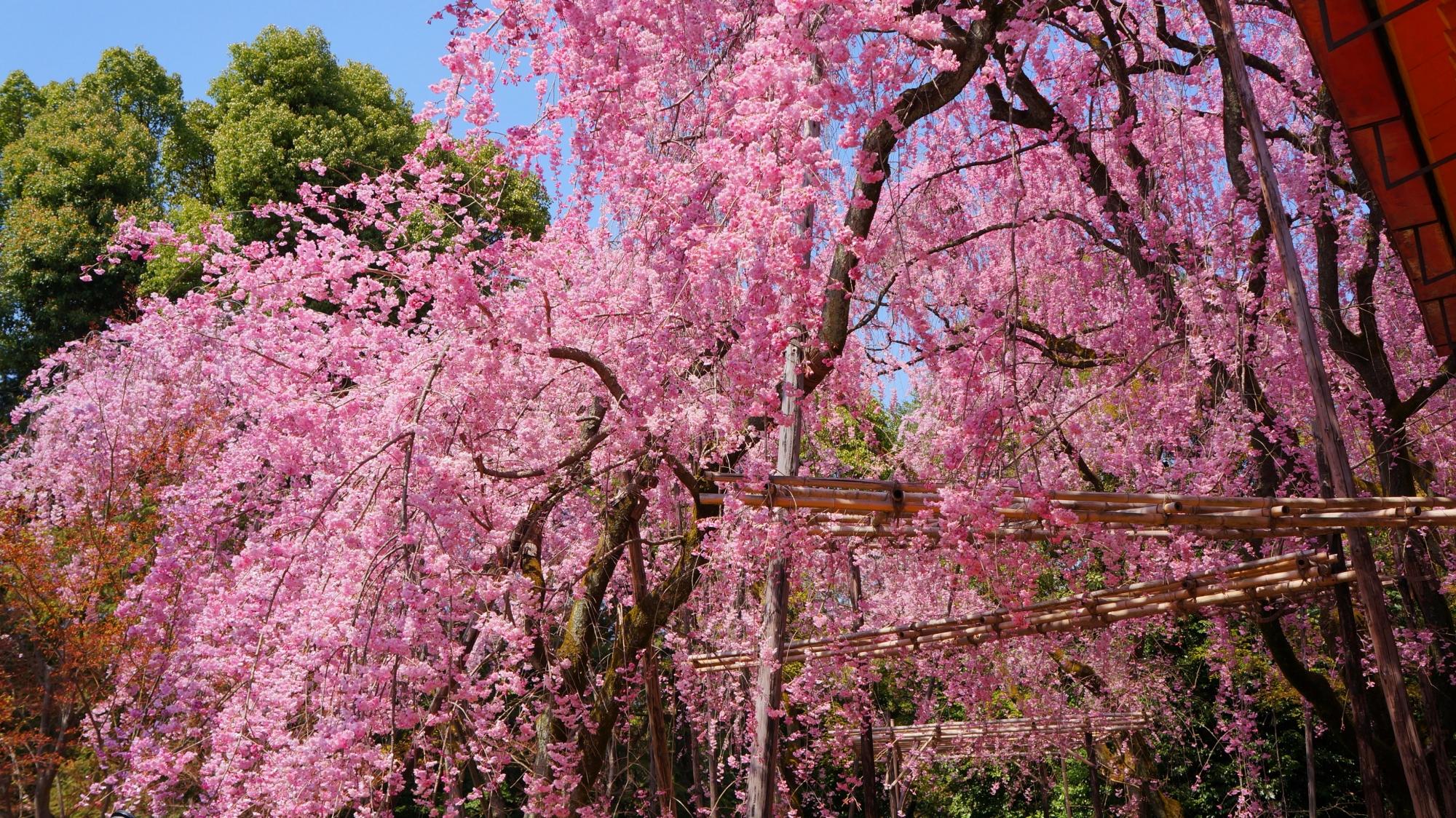 鮮やかなピンクの桜が降り注ぐ平安神宮の南神苑