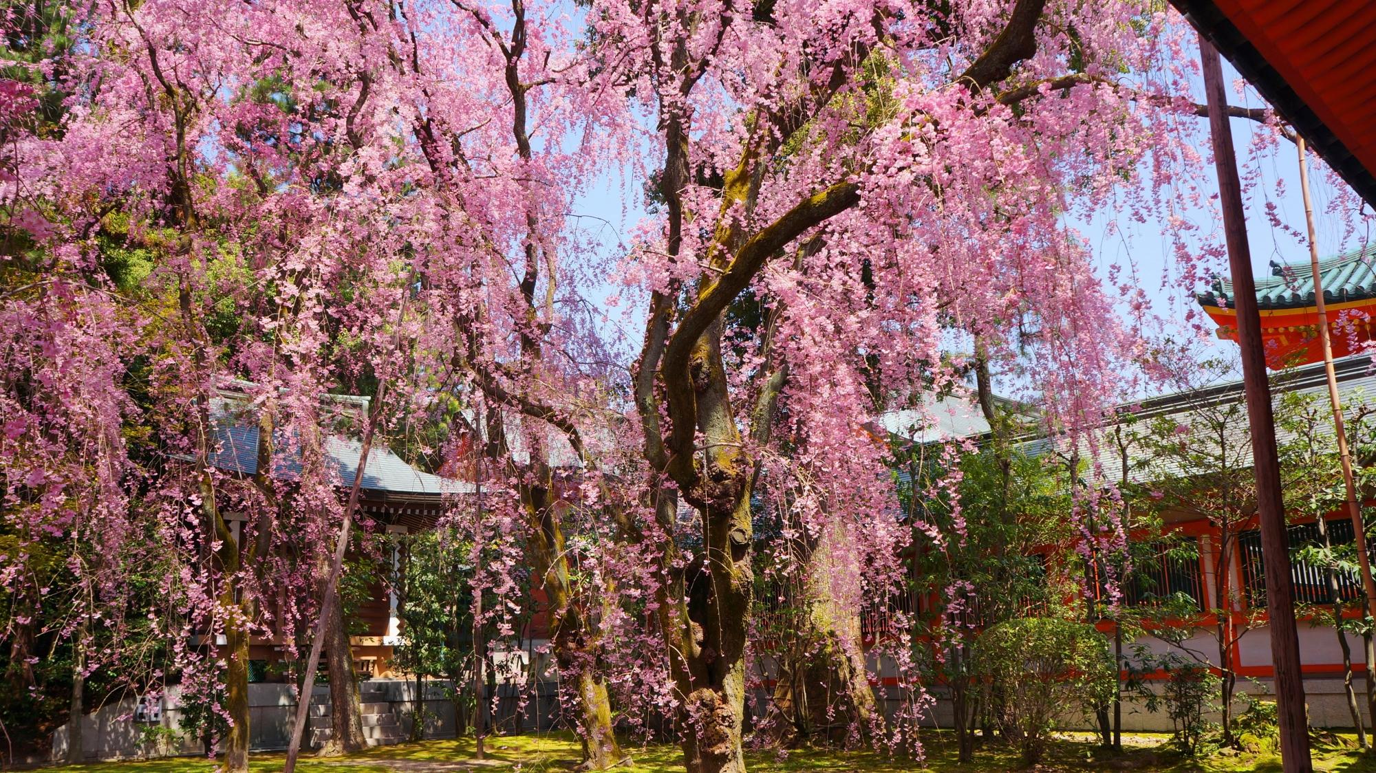 楼閣を春色に彩る雅なしだれ桜