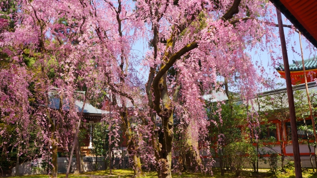 Kyoto Heian-jingu Shrine Garden weeping cherry tree spring 満開 平安神宮 神苑 紅しだれ桜 春