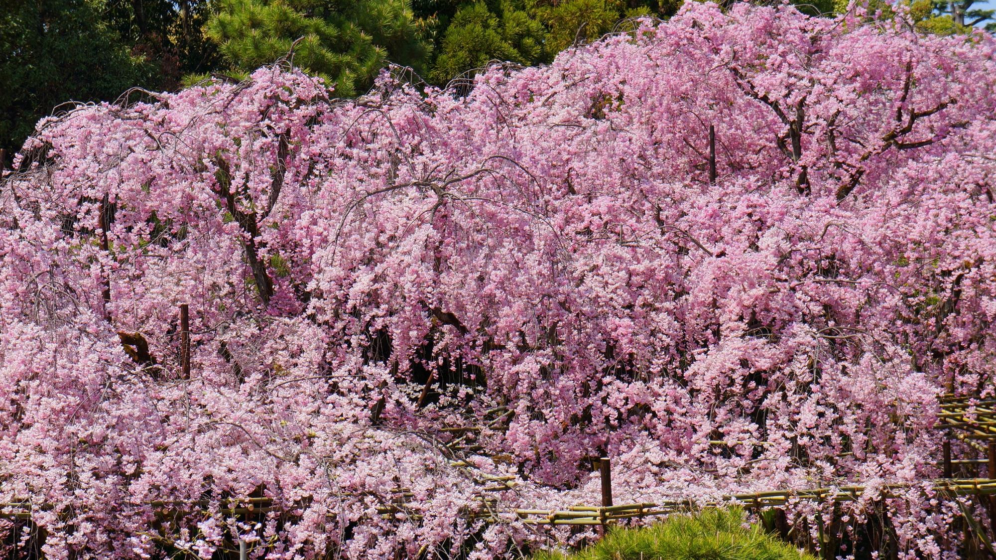 神苑のいたるところで満開をむかえる枝垂れ桜