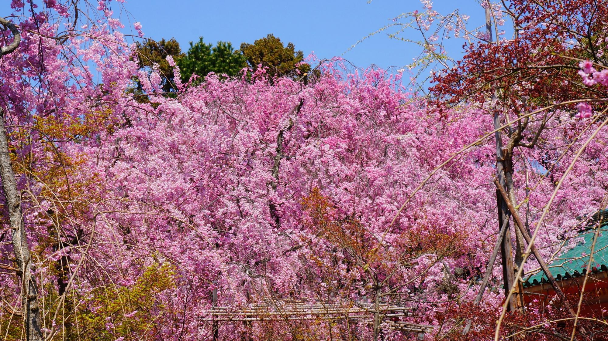 満開のしだれ桜で賑わう平安神宮の神苑