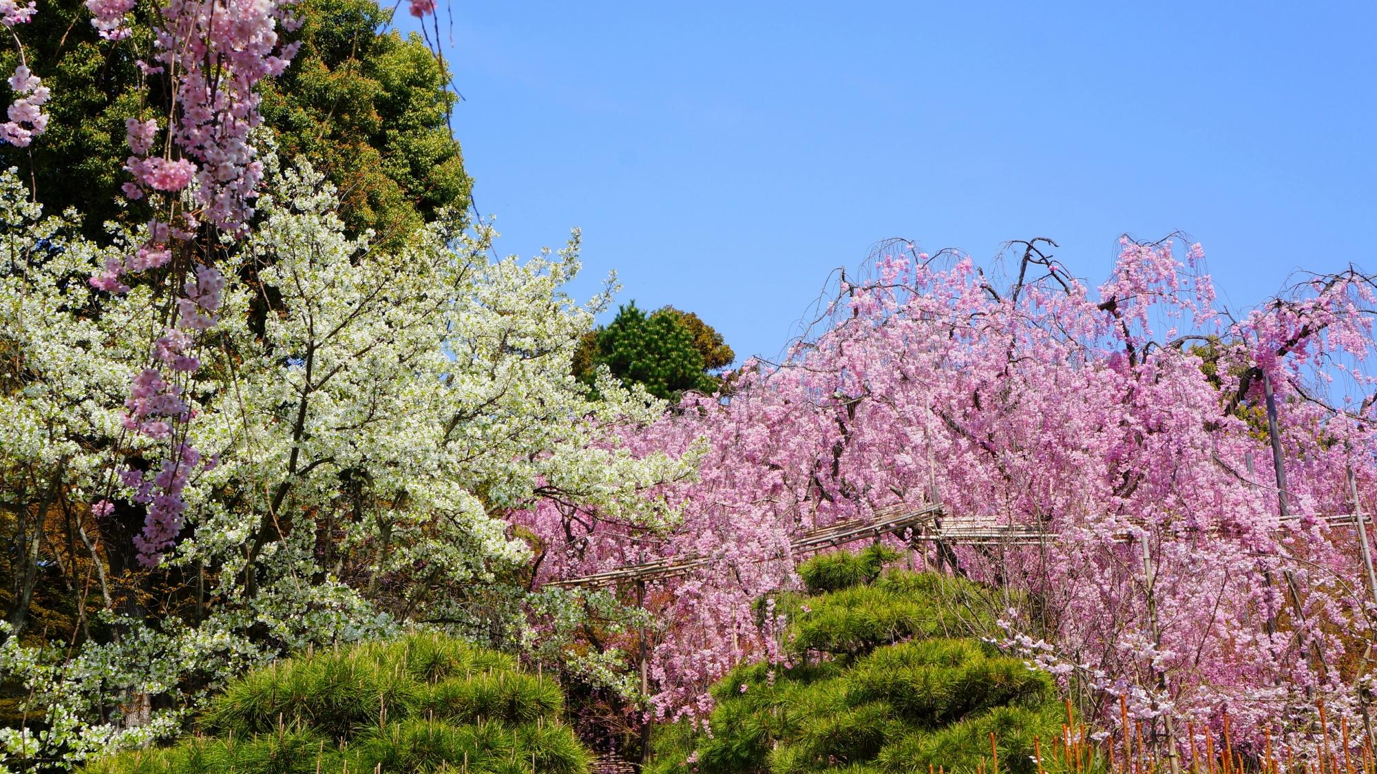 多種多様な桜で彩られた平安神宮の神苑