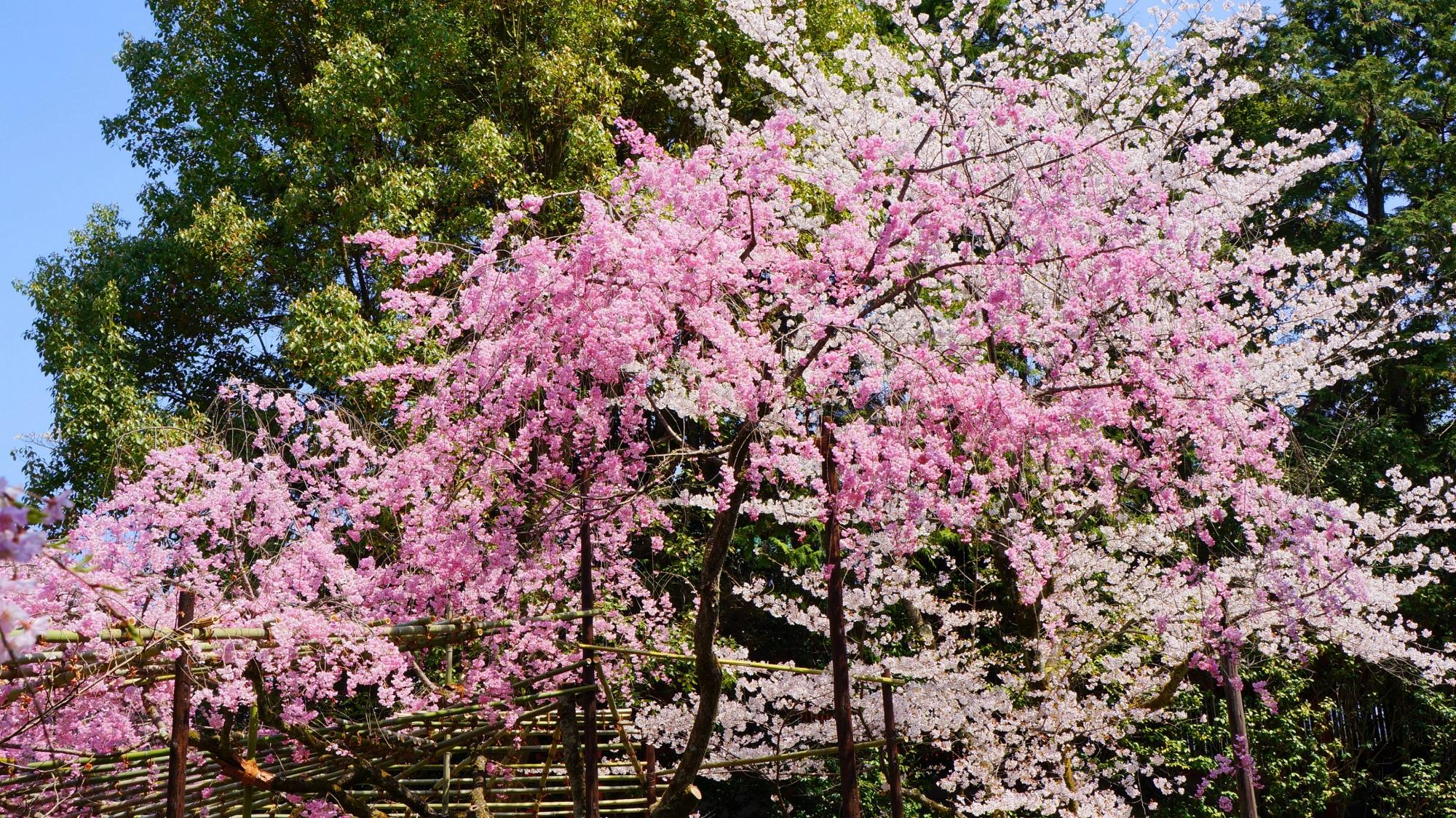 たくさんあるしだれ桜以外の桜