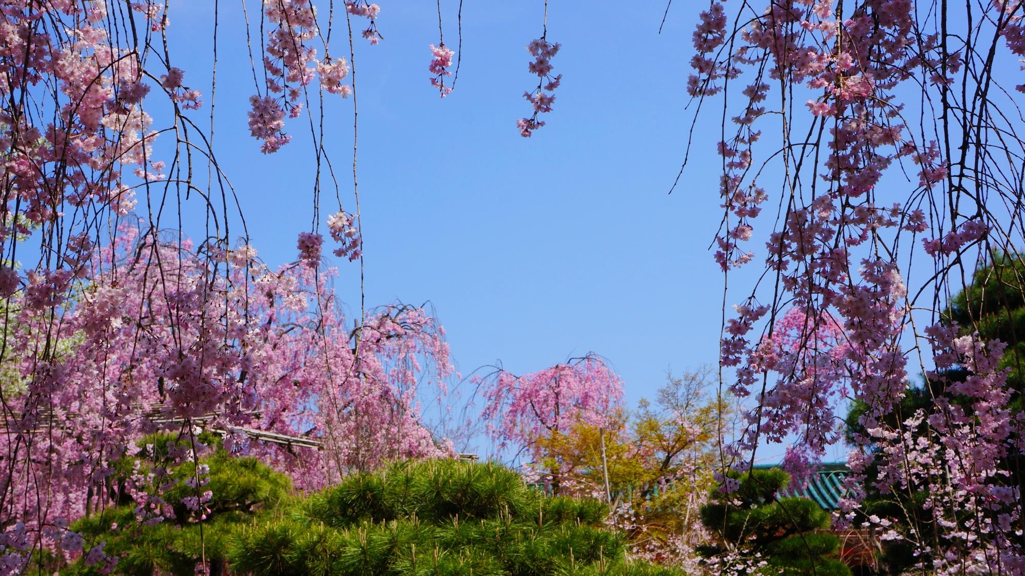 平安神宮神苑の青空に映える優雅な桜